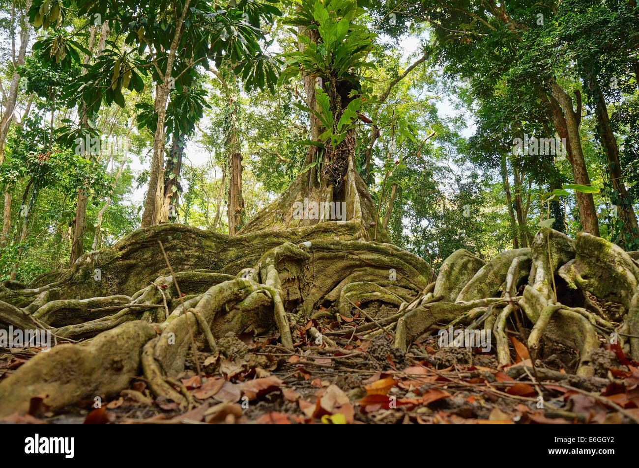 tropical tree and roots in the jungle of Costa Rica - Stock Image