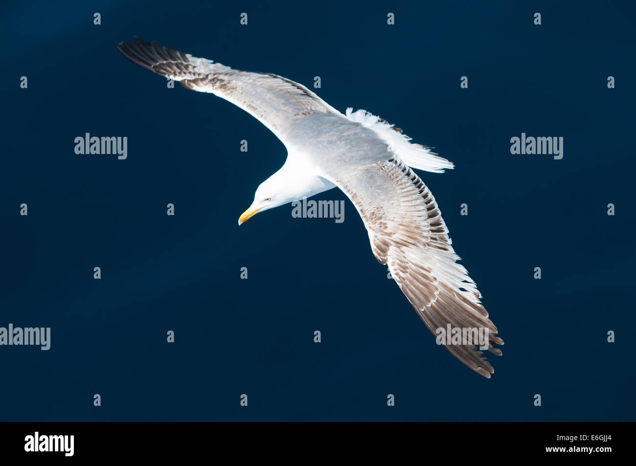 Seagull flying above the sea - Stock Image