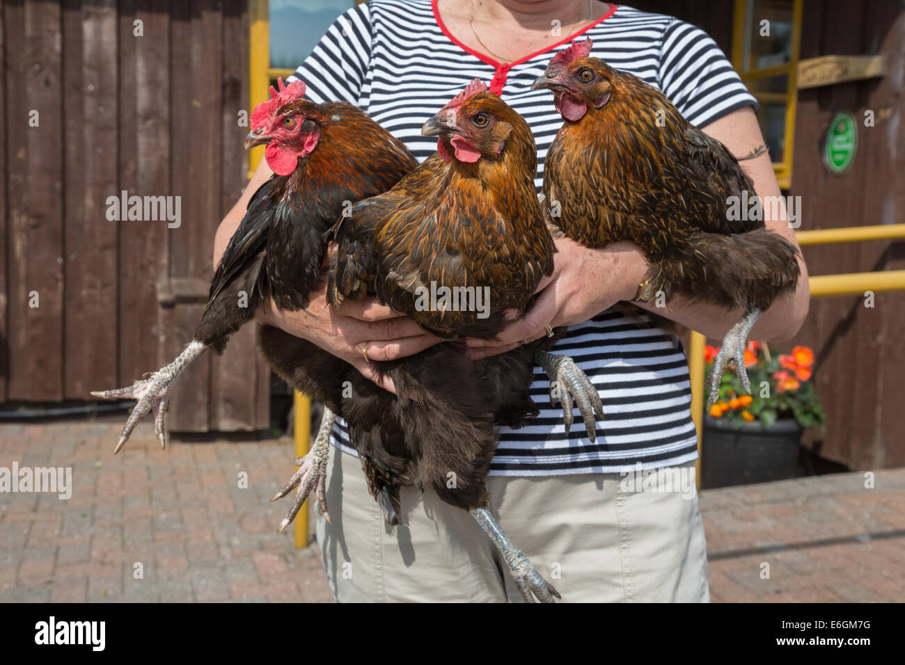 French Marans hens held by poultry keeper Sonja Gregory, The Hytte, Northumberland, June 2014 - Stock Image