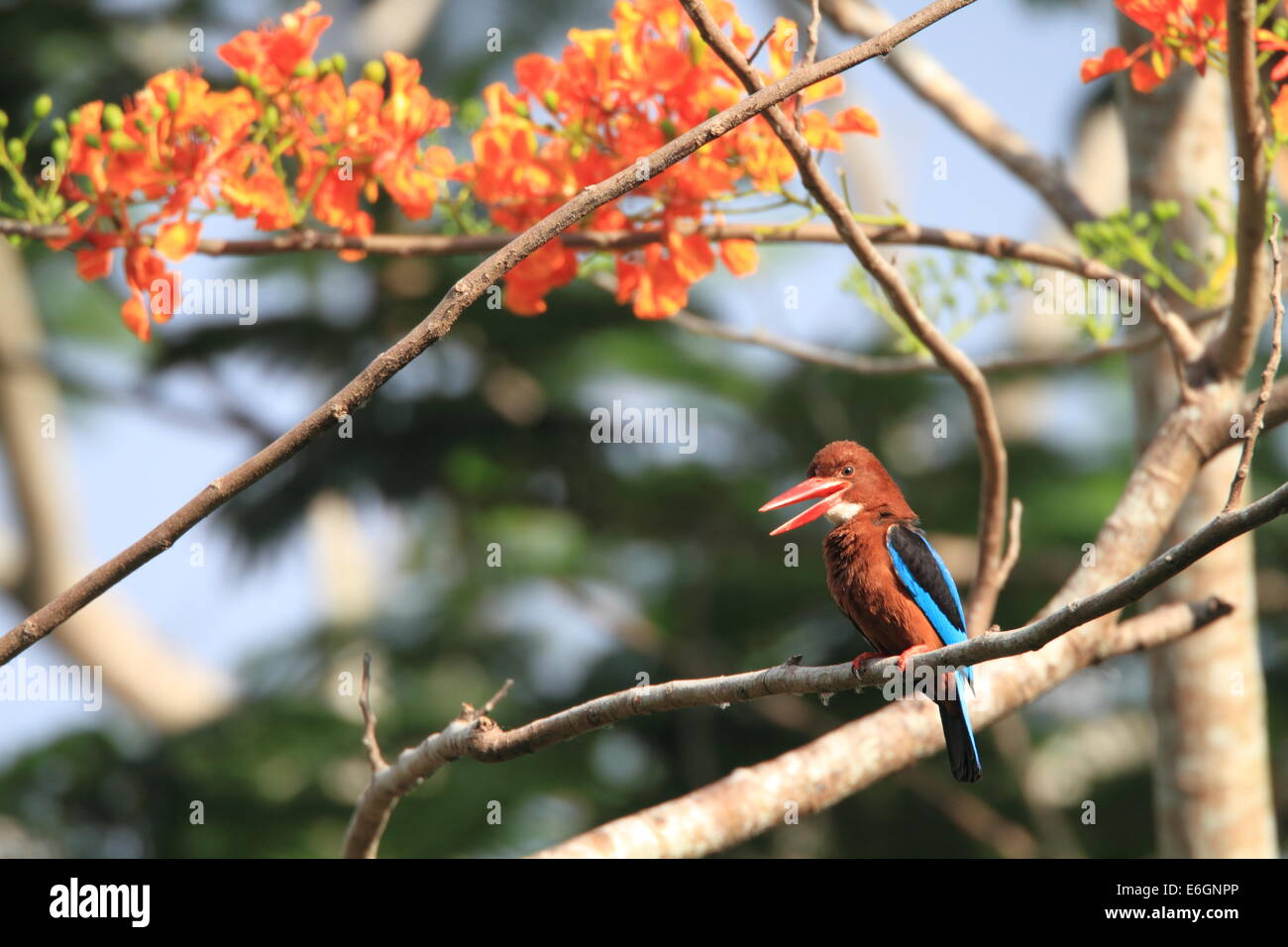 White-throated Kingfisher (Halcyon smyrnensis) in Luzon,Philippine - Stock Image