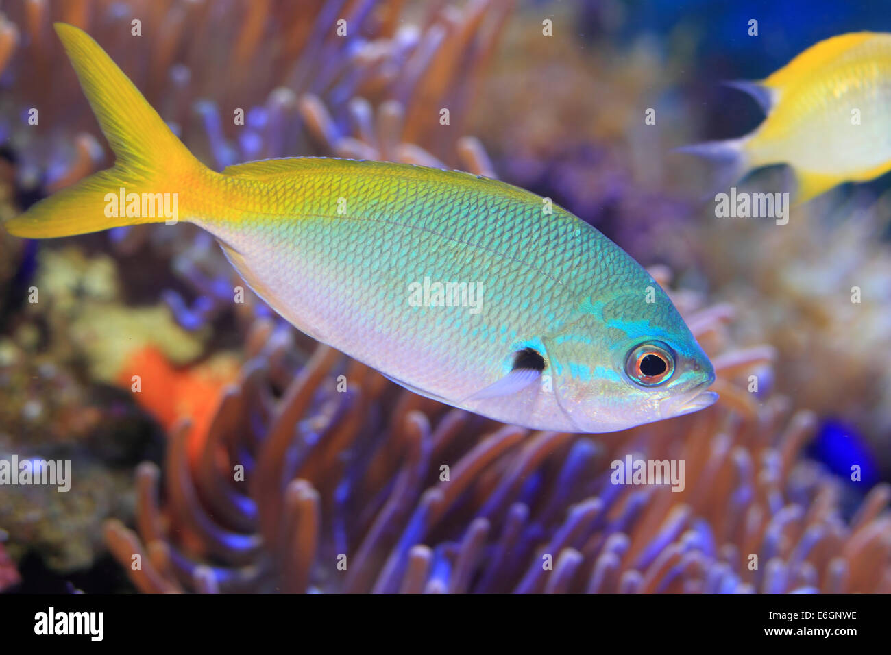 Yellow and blueback fusilier or Redfin fusilier (Caesio teres) in Japan Stock Photo