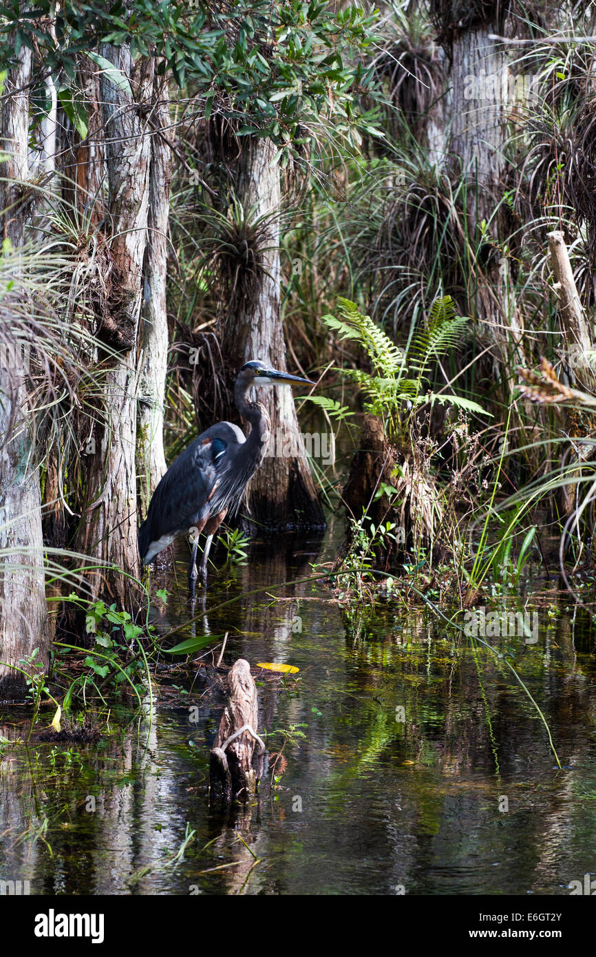 Great Blue Heron in the Everglades, Florida - Stock Image