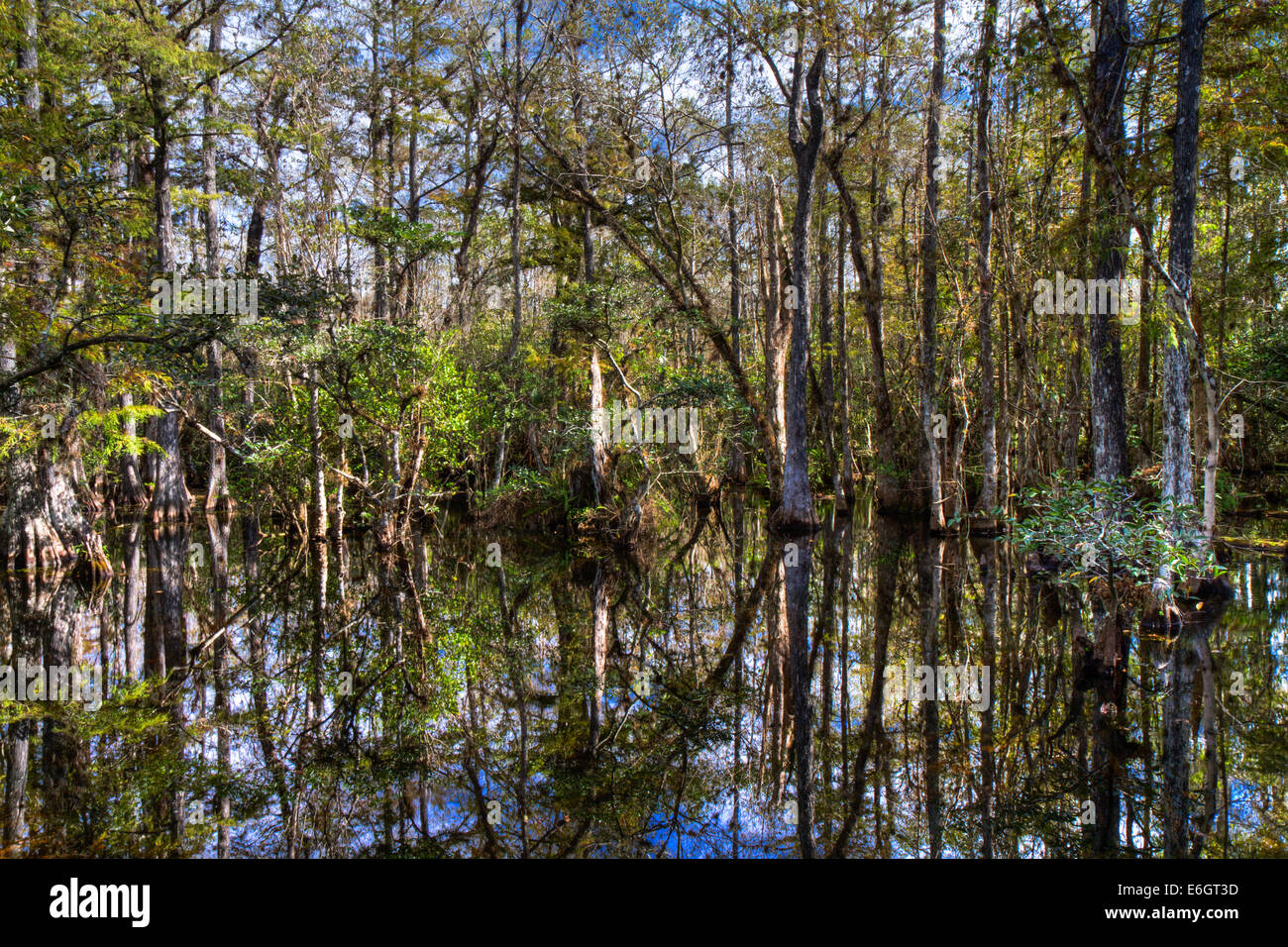 Cypress of the Everglades reflecting in a swamp, Florida, USA - Stock Image