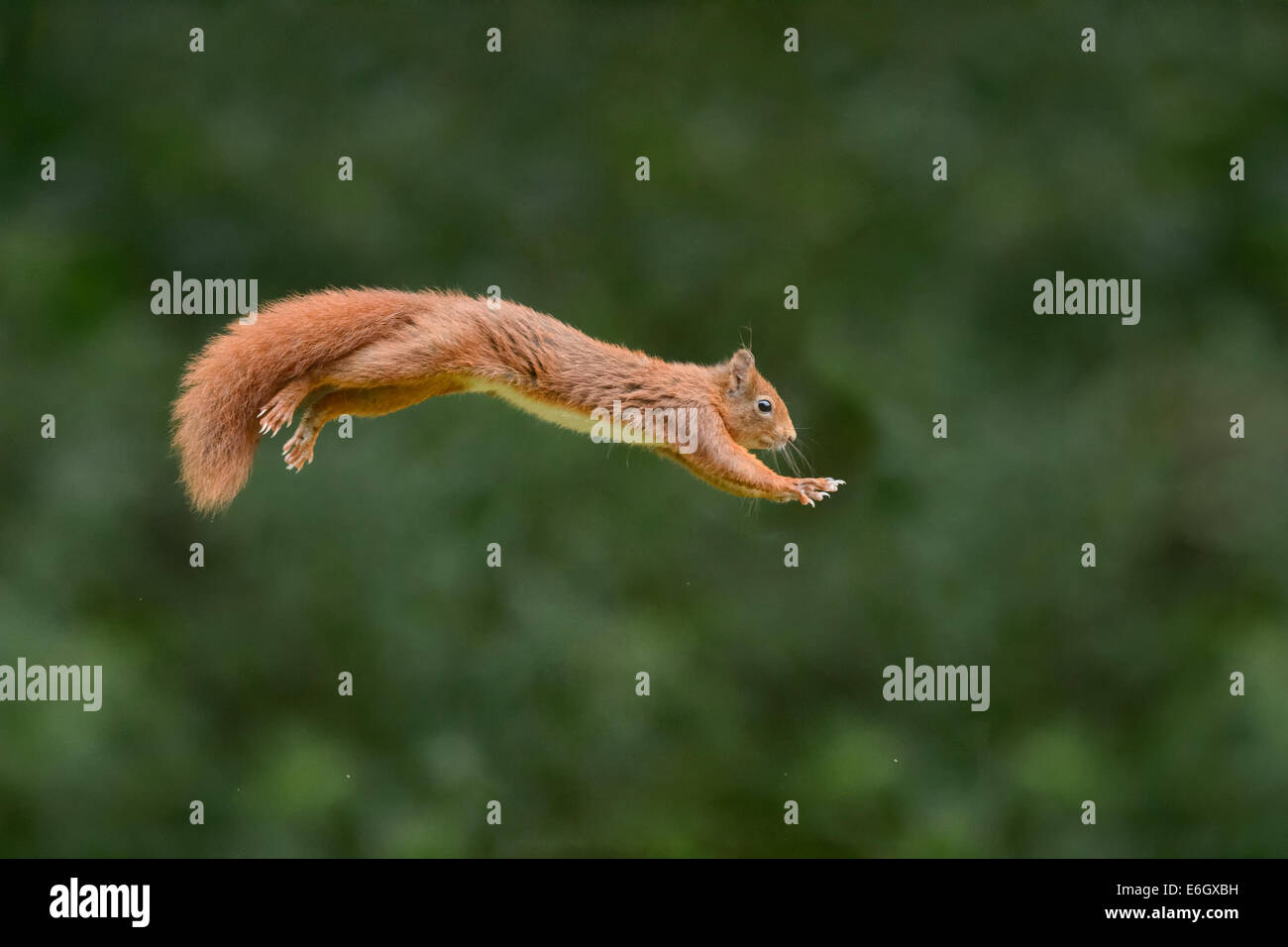 Red squirrel jumping - Stock Image