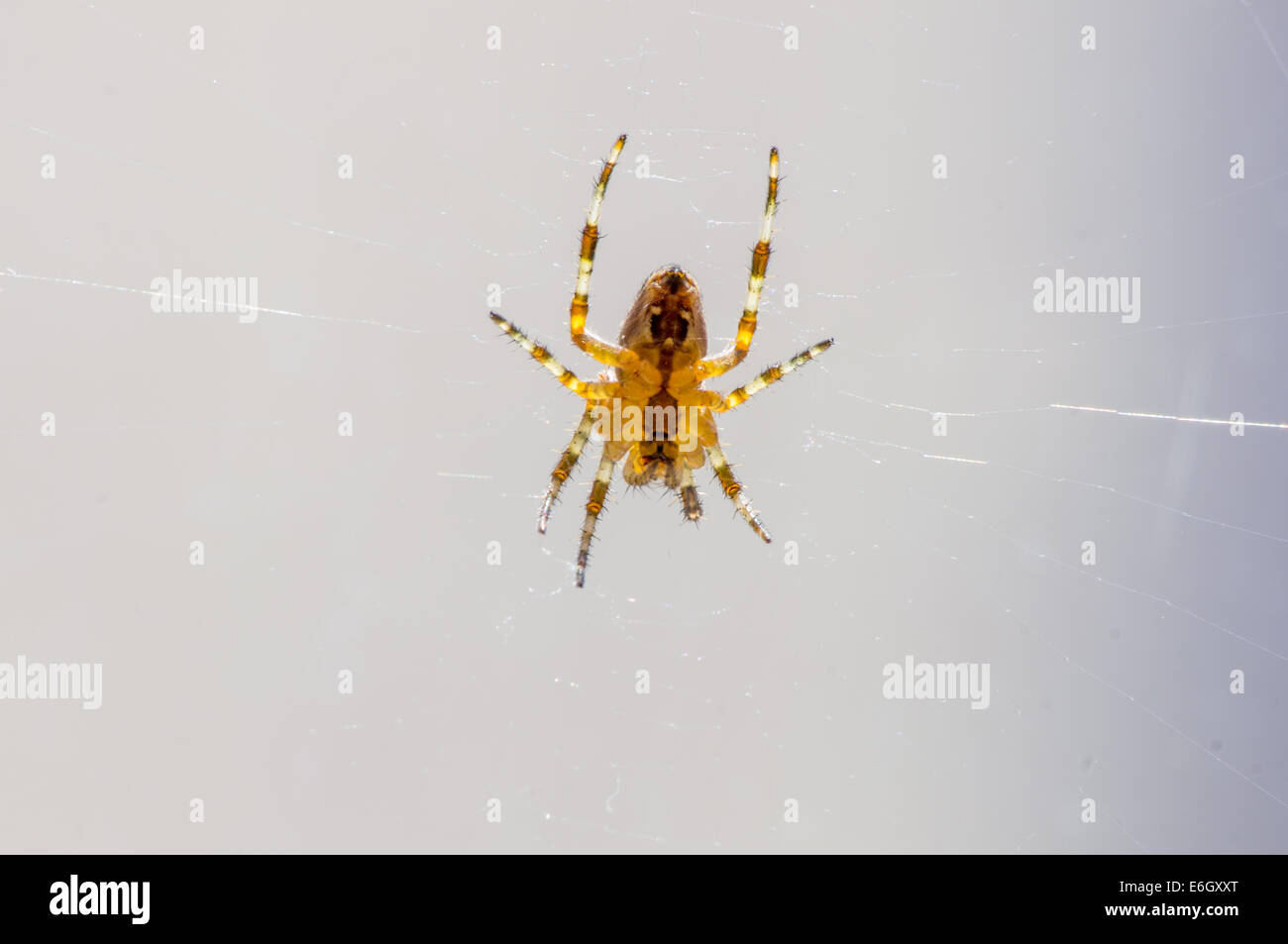Araneus diadematus. Underneath a Common UK spider waiting in its web back lit by the sun - Stock Image