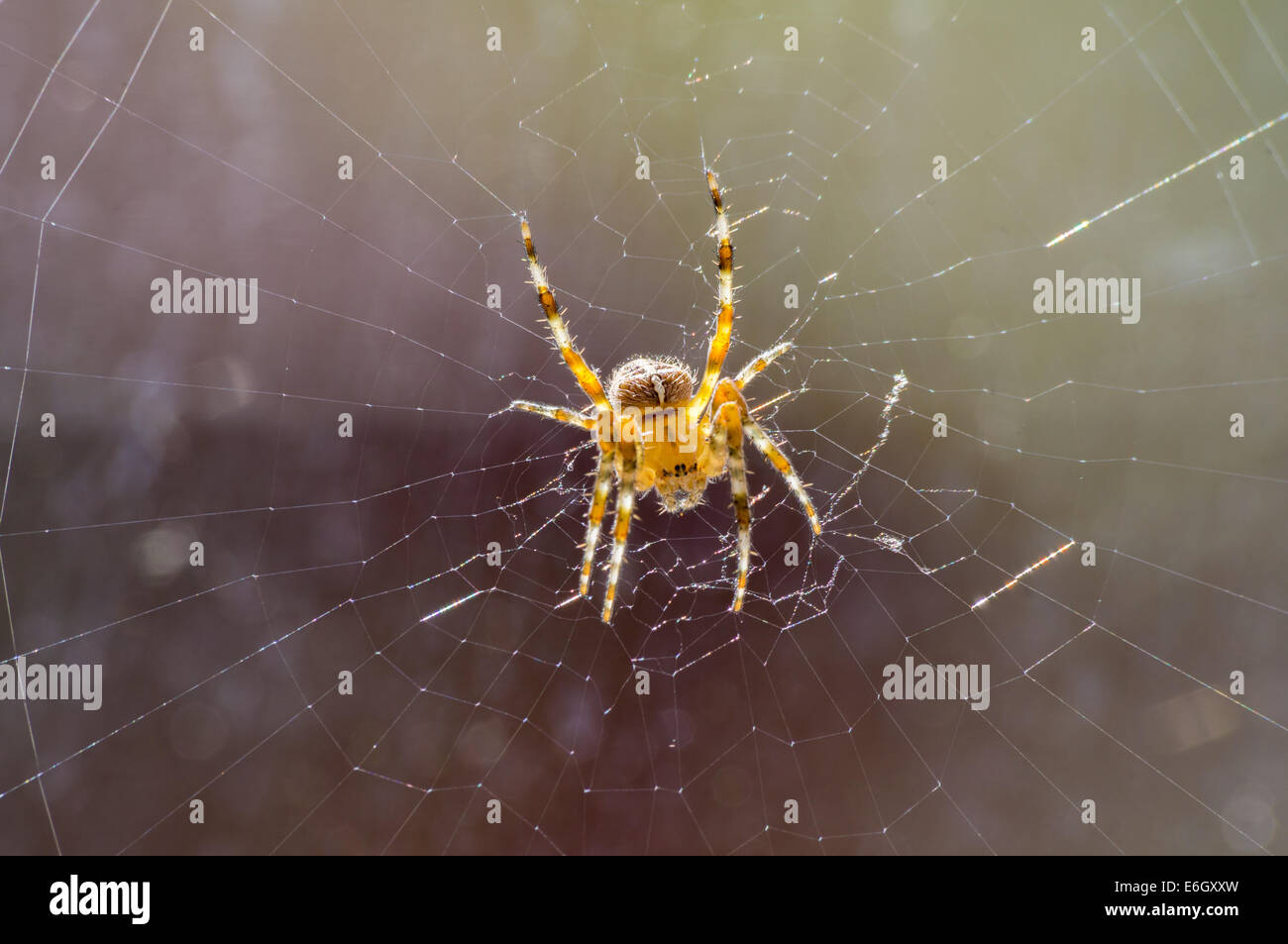 Araneus diadematus. Common UK spider waiting in its web back lit by the sun - Stock Image