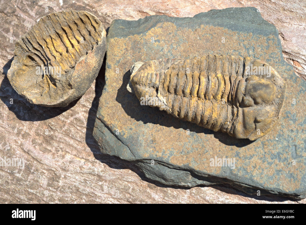 Trilobite, meaning 'three lobes' belongs to the fossil group of extinct marine arthropods that form the - Stock Image