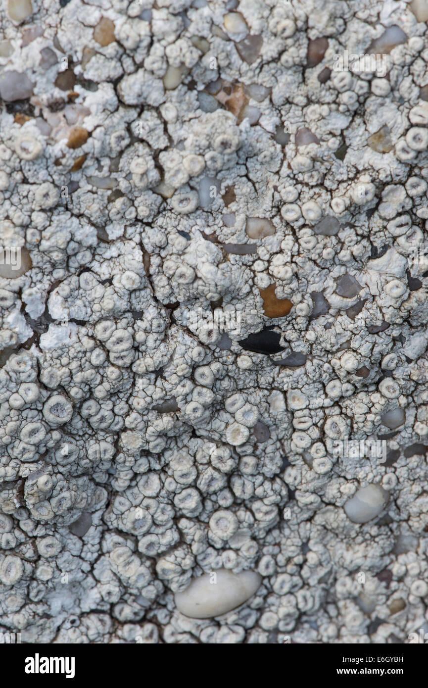 Ochrolechia patella lichen growing on wall covered in concrete with pebbles Slapton Ley Devon UK Europe - Stock Image