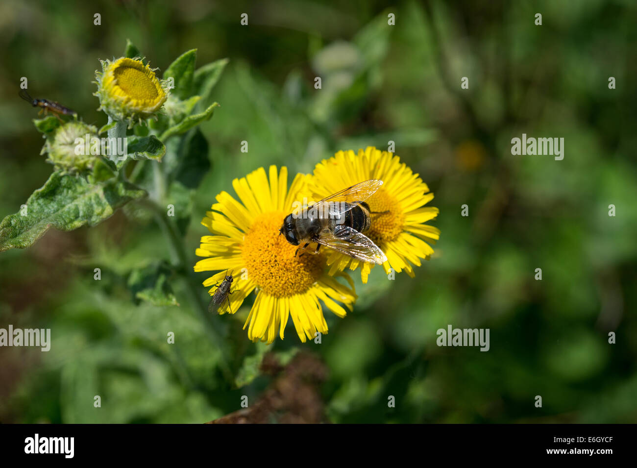Common fleabane (Pulicaria dysenterica) with overfly feeding on nectar Andrew's Wood Devon UK Europe August - Stock Image