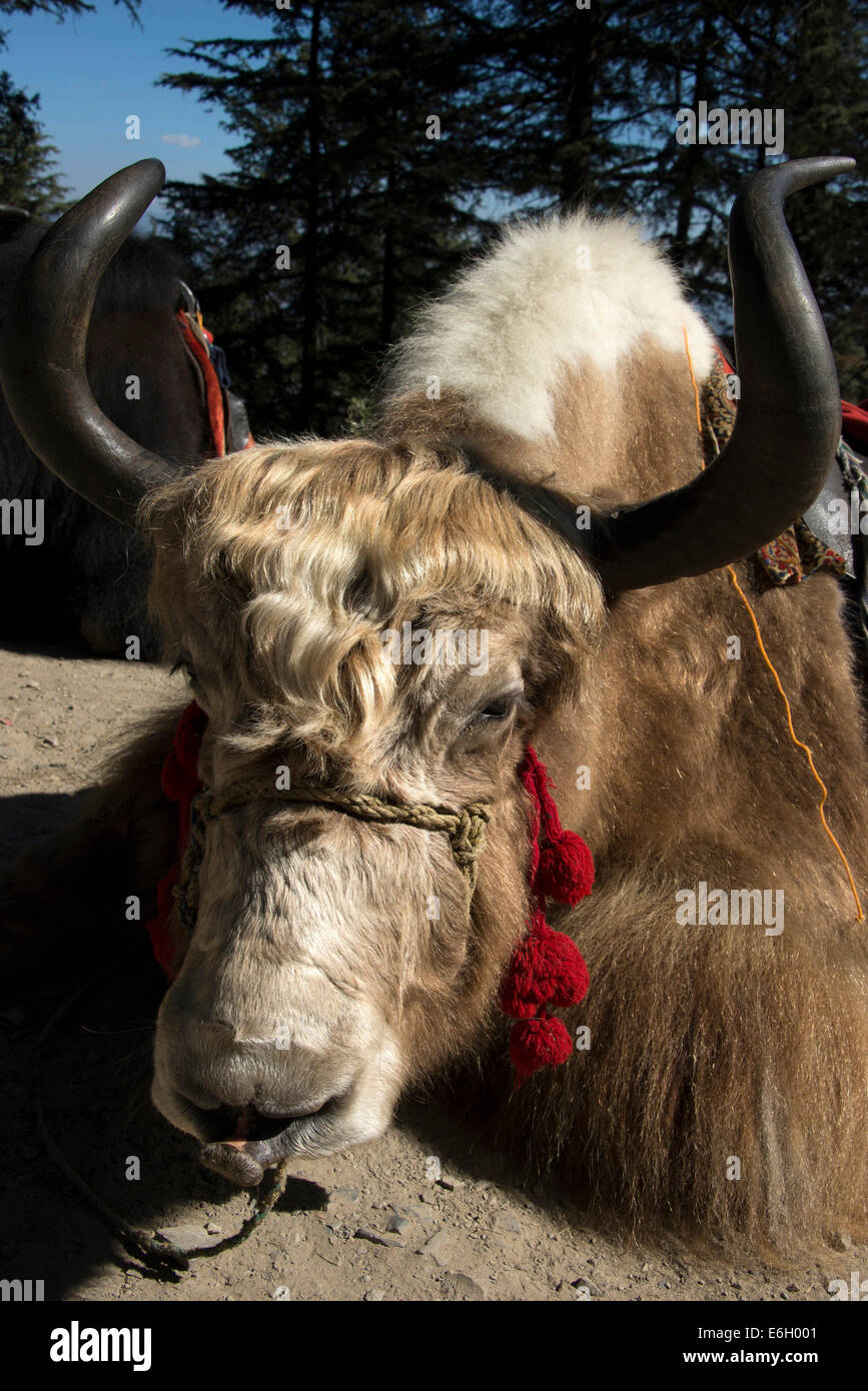 A couple of Yaks with saddles on their backs waiting for  tourists to ride on beside a main road in India - Stock Image