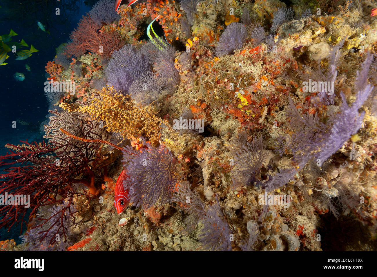 Sea fans in Maldives, Indian Ocean - Stock Image