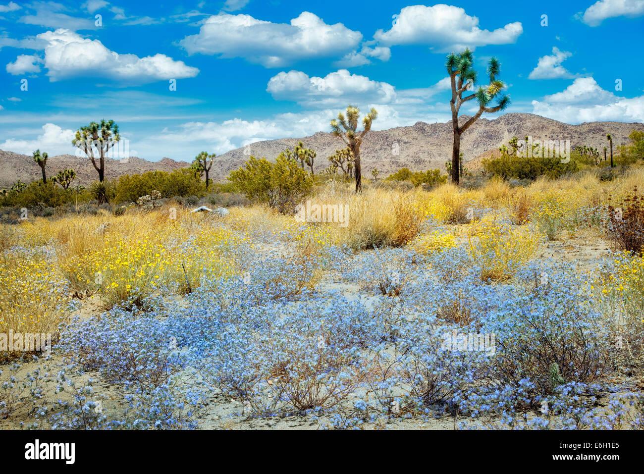 Wildflowers and Joshua Trees. Joshua Tree National Park, California Stock Photo