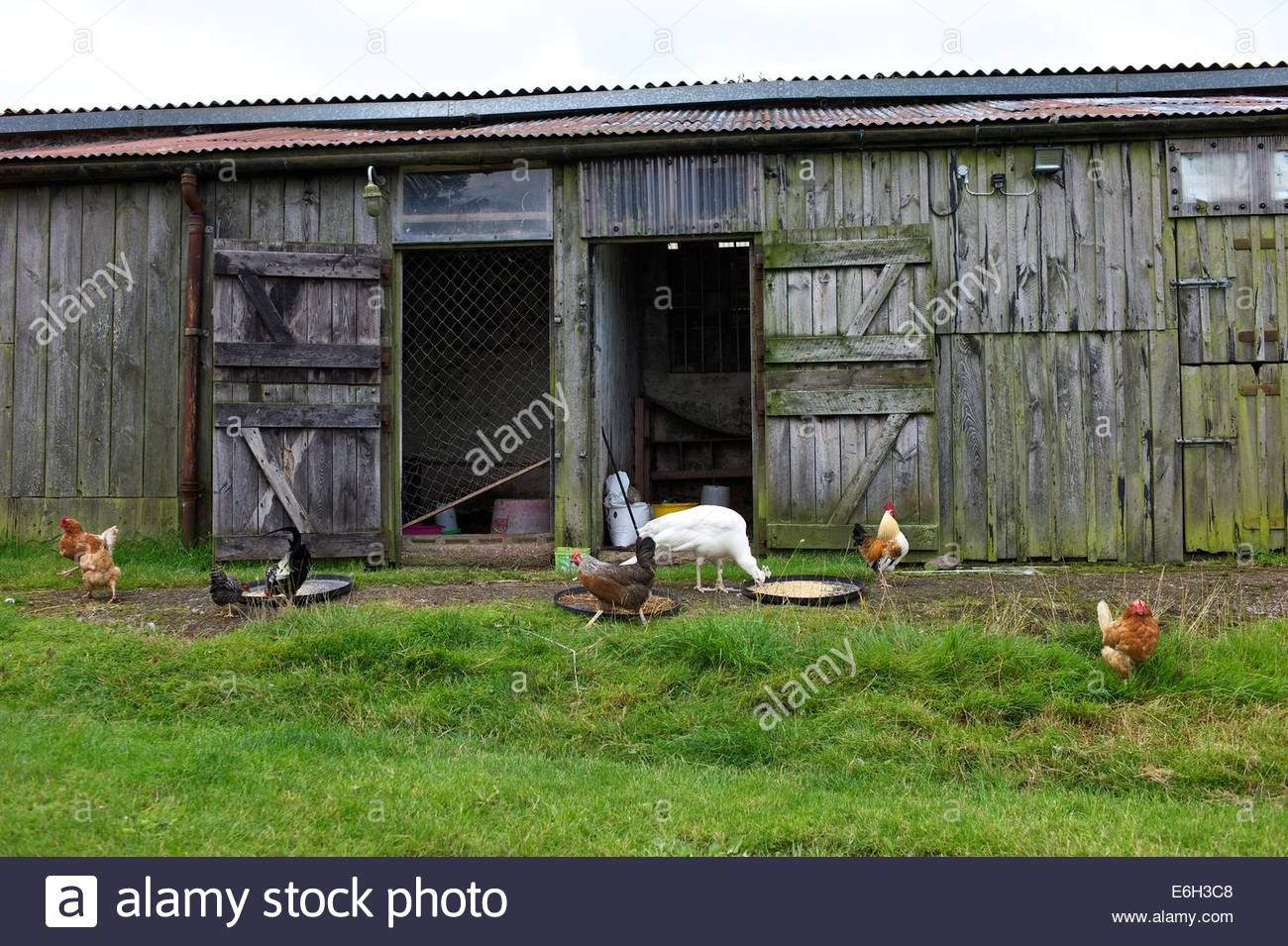 Poultry and a white Peacock feed outside a hen house on grain left for them on a farm in the Scottish Borders. - Stock Image