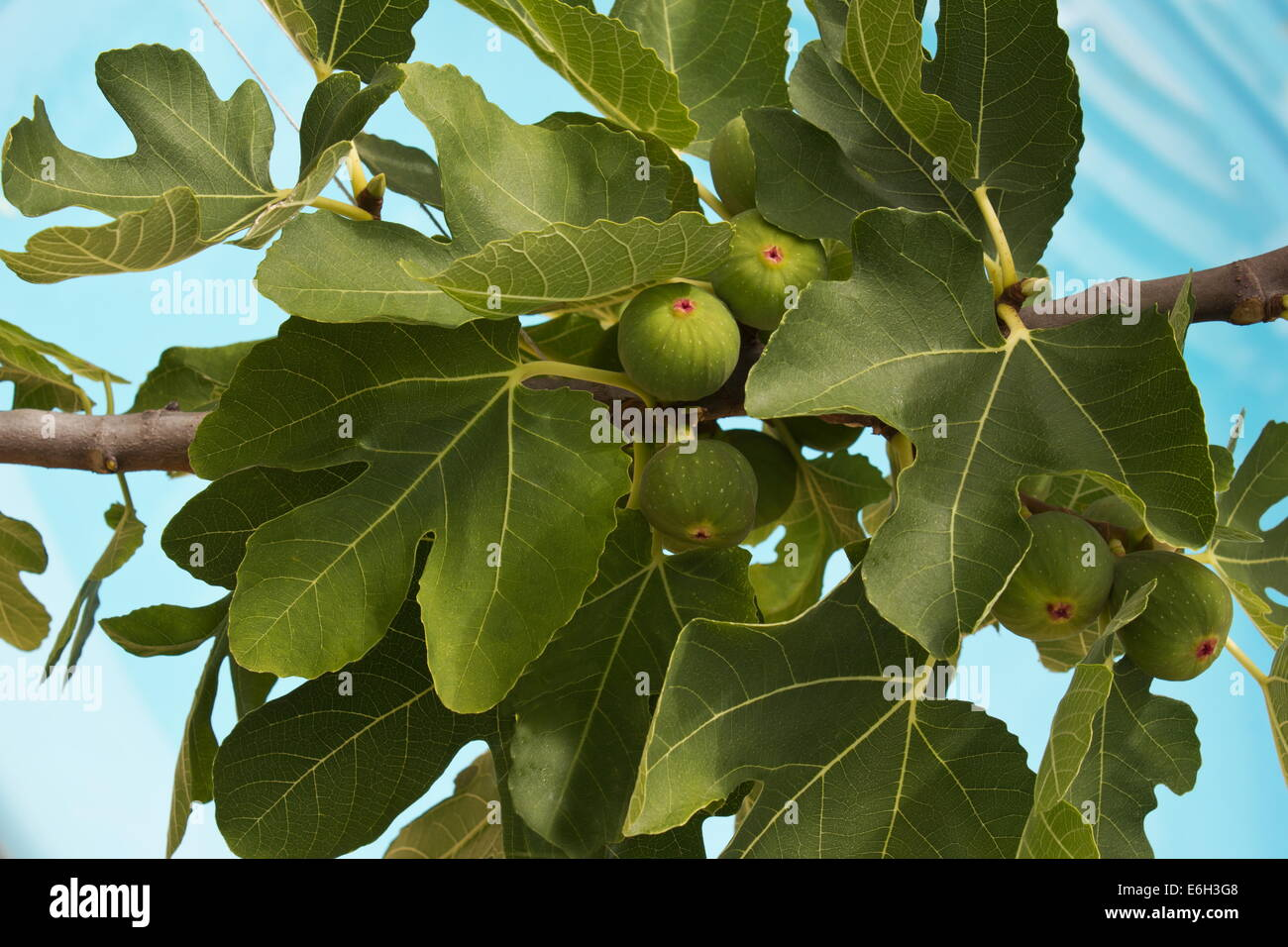 Figs (ficus carica)on a branch against water background - Stock Image