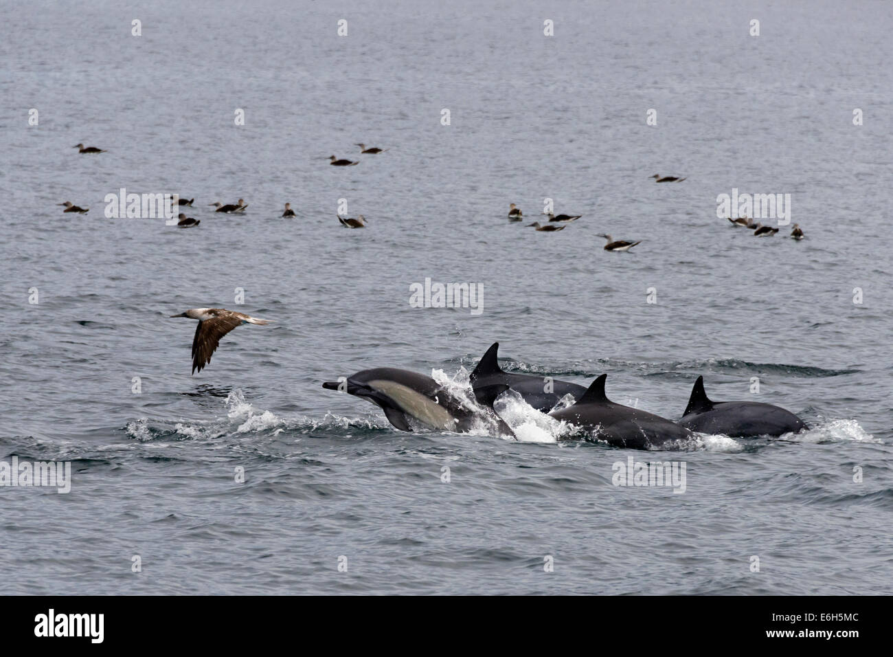 Long-beaked common dolphins and blue-footed boobies, Isla Carmen, Sea of Cortez, Baja, Mexico - Stock Image