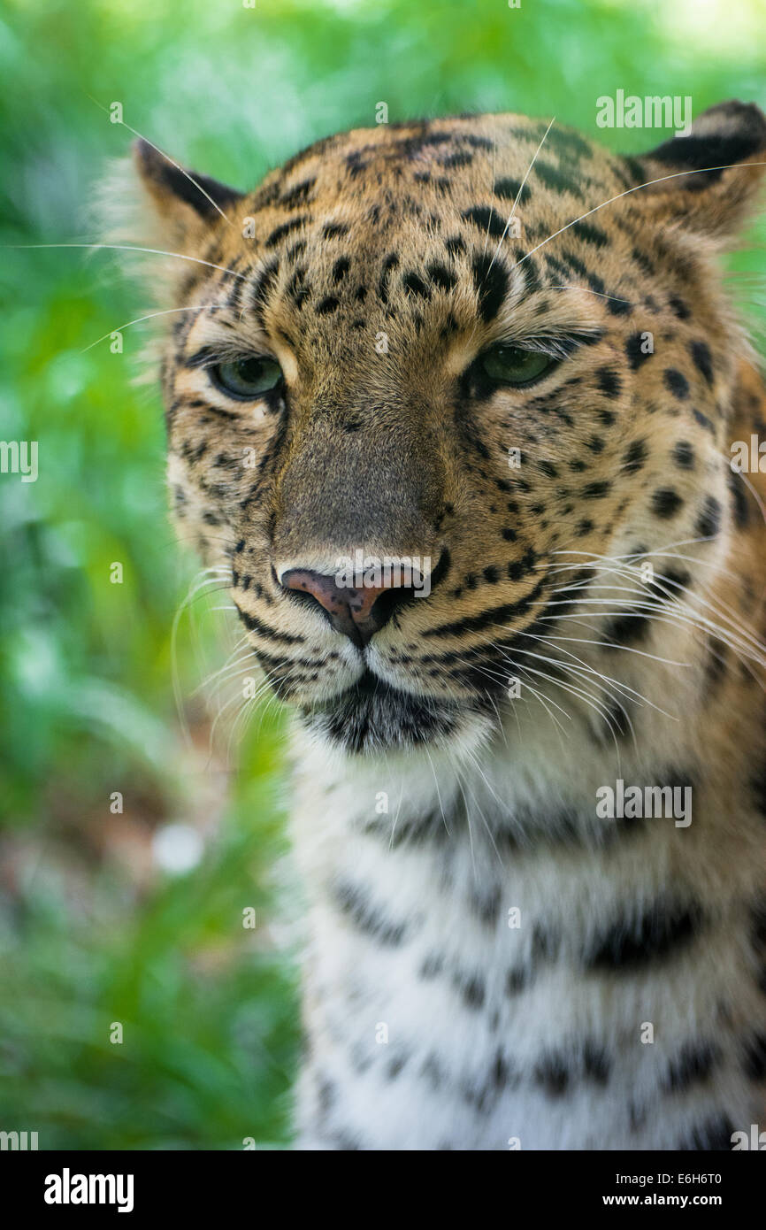 A close up portrait of an Amur leopard, an endangered animal, at the Pittsburgh Zoo, Pittsburgh, Pennsylvania. - Stock Image