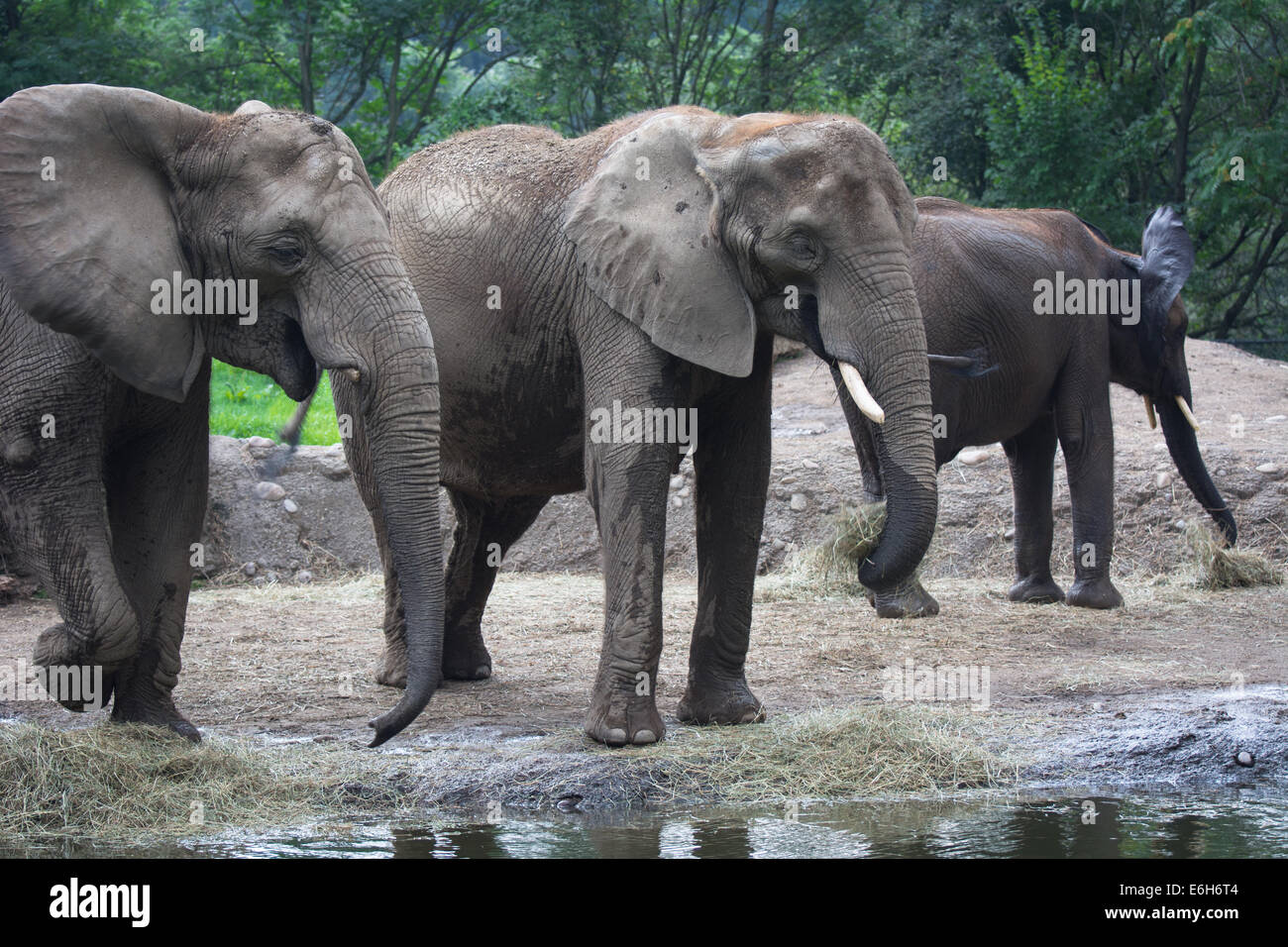 African elephants at the Pittsburgh Zoo, Pittsburgh, PA. - Stock Image