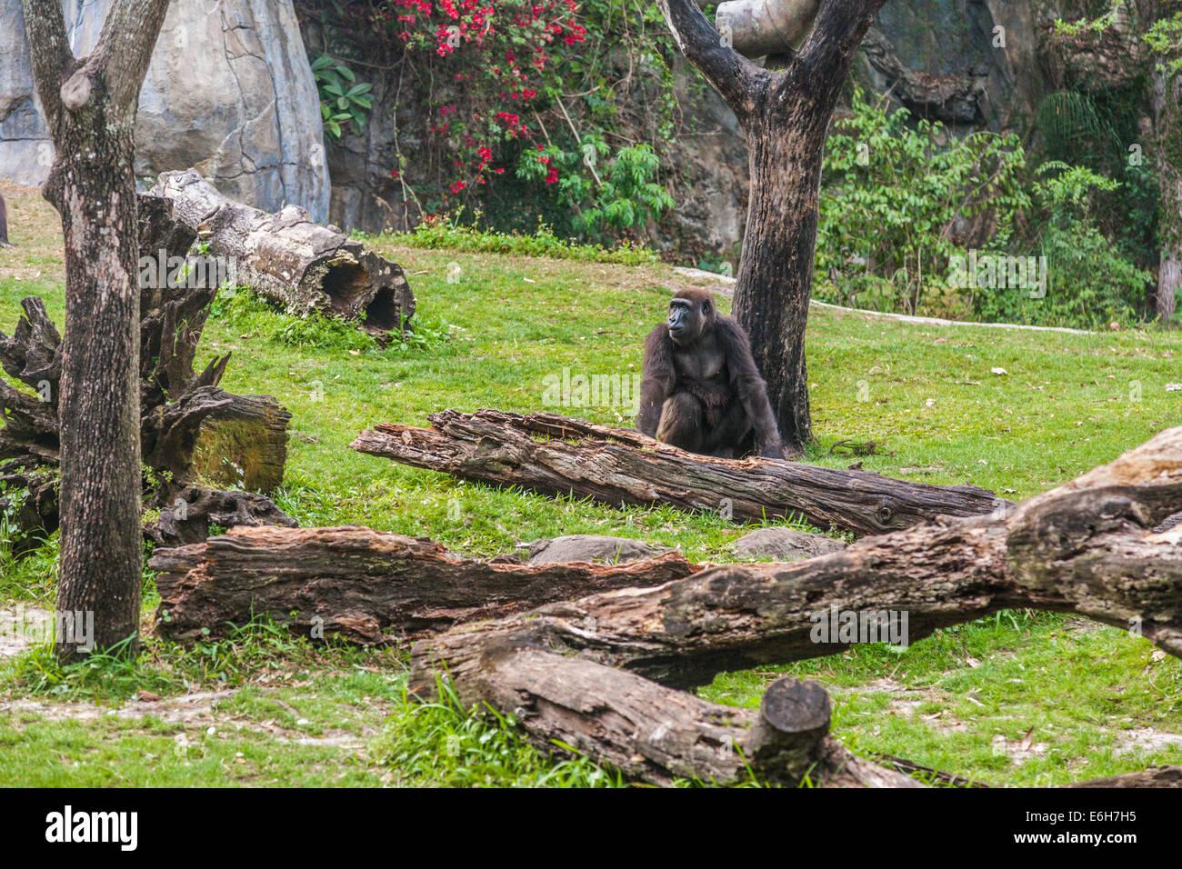 Gorilla in natural habitat at Busch Gardens in Tampa, Florida - Stock Image