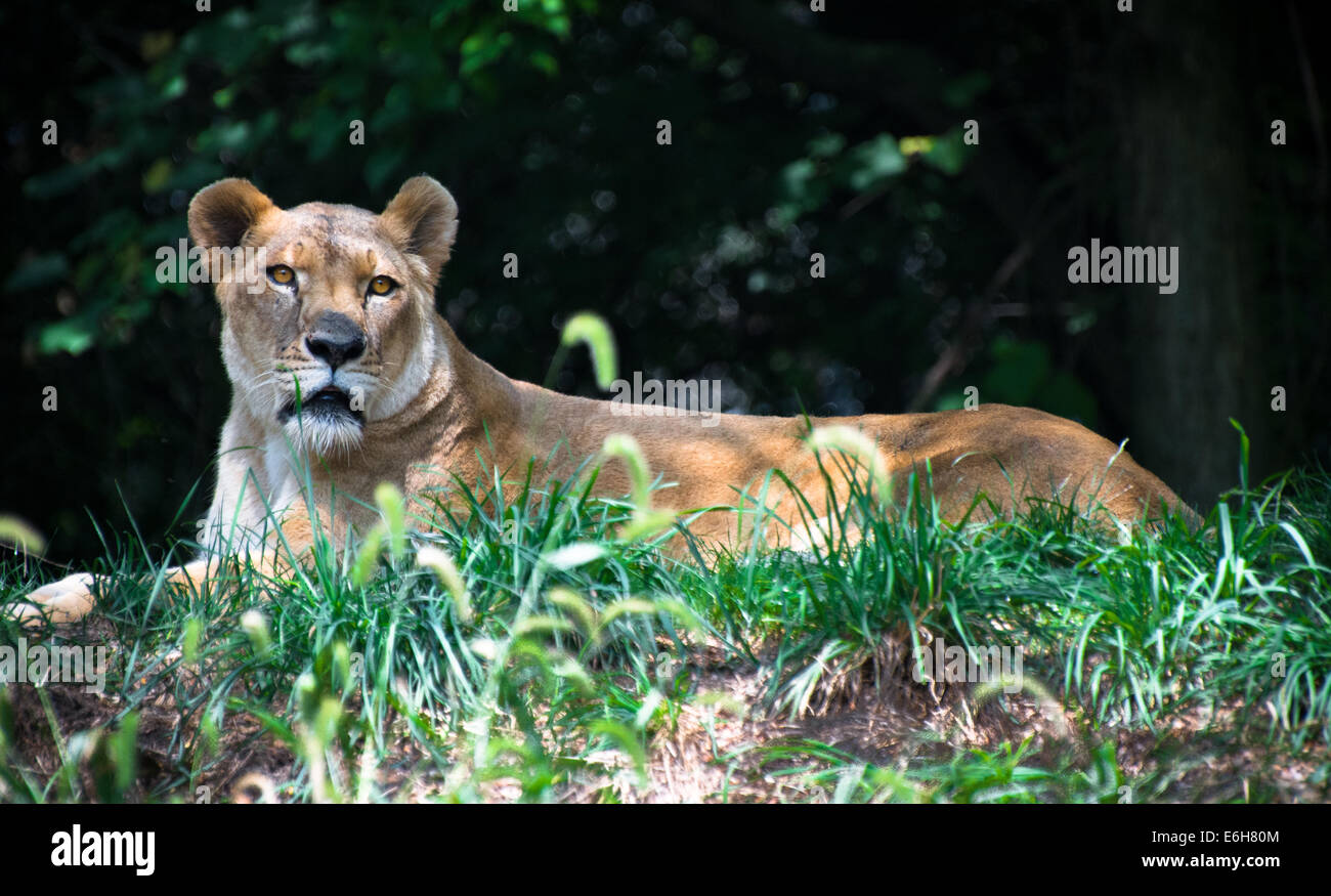 A portrait of a female African lion (lioness) in captivity at the Pittsburgh Zoo, Pittsburgh, Pennsylvania. - Stock Image