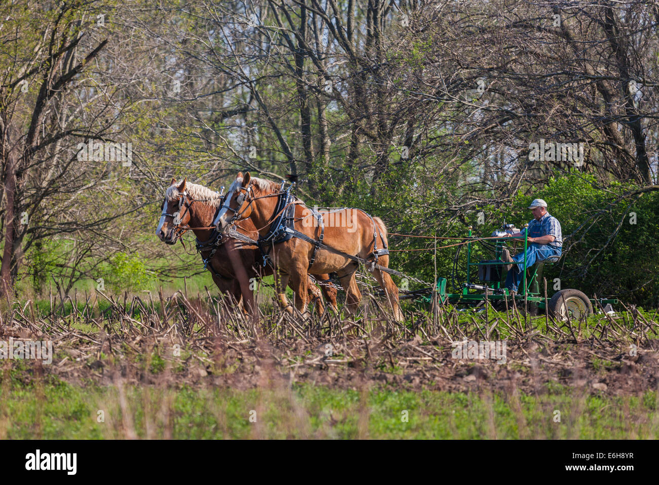 Farmer using draft horses to plow field in living history area of Prophetstown State Park in West Lafayette, Indiana - Stock Image