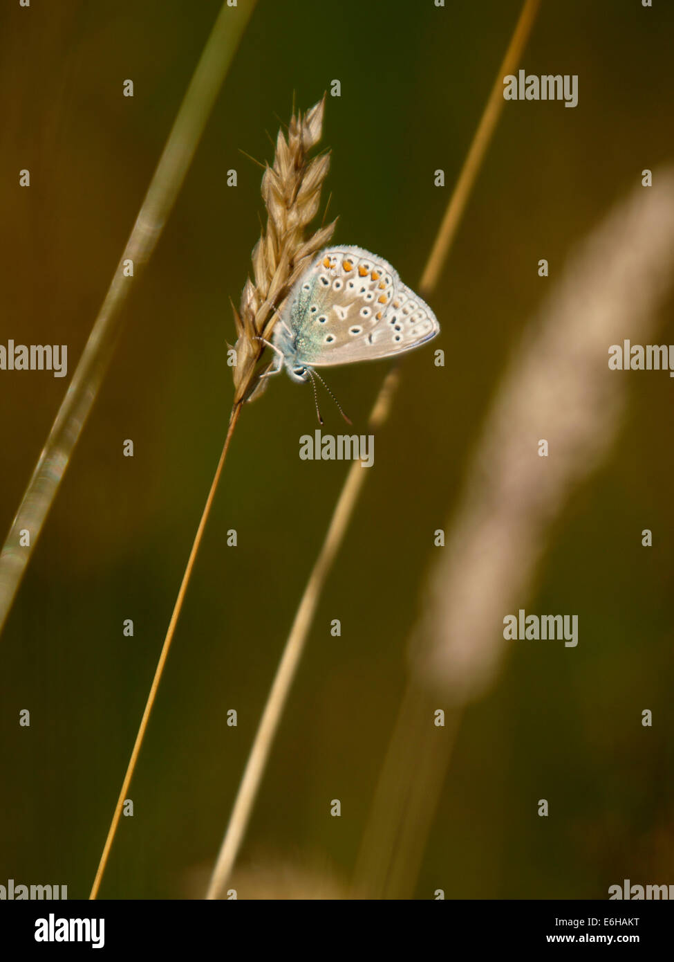 Chalk-Hill Blue Butterfly, Lysandra coridon - Stock Image