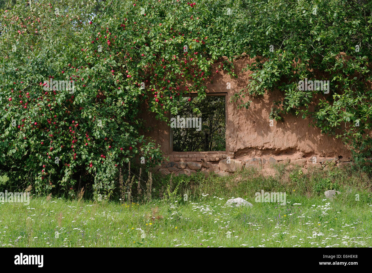 Window Hole In Decayed Traditonal South Estonian Clay Made Building, Decorated With Apple Tree. Tartu County. Estonia - Stock Image