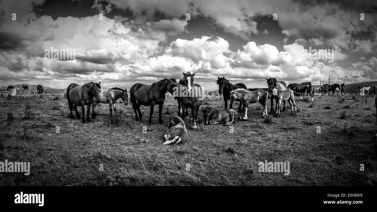 Wild Horses - Stock Image