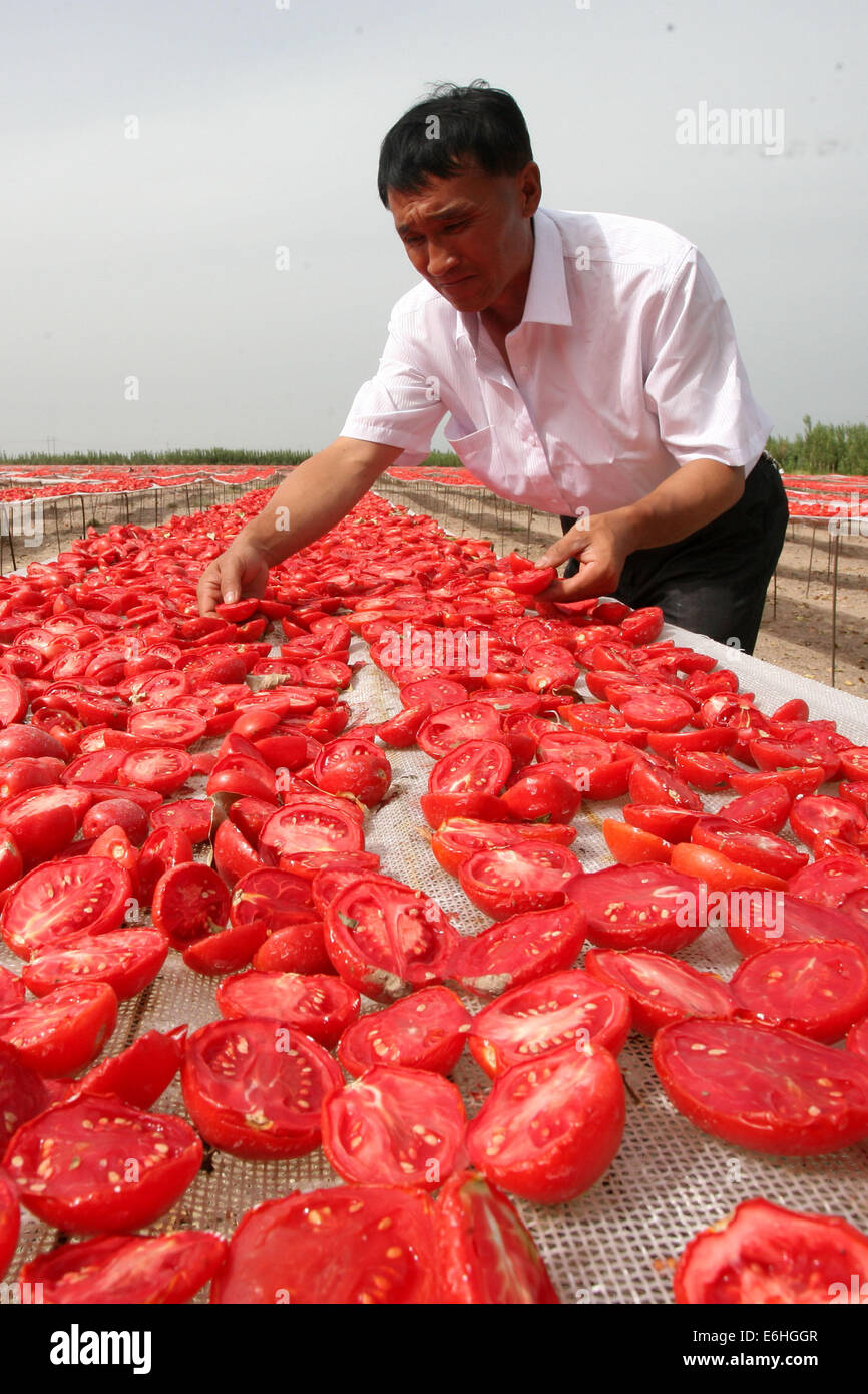(140824) -- KORLA, Aug. 24, 2014 (Xinhua) -- A farmer puts harvested tomatoes for air-drying in Korla, northwest - Stock Image