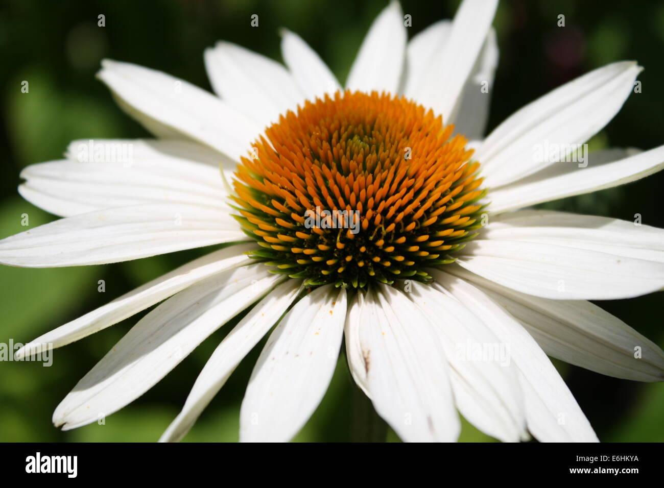 Fall Perennials, White Daisy - Stock Image