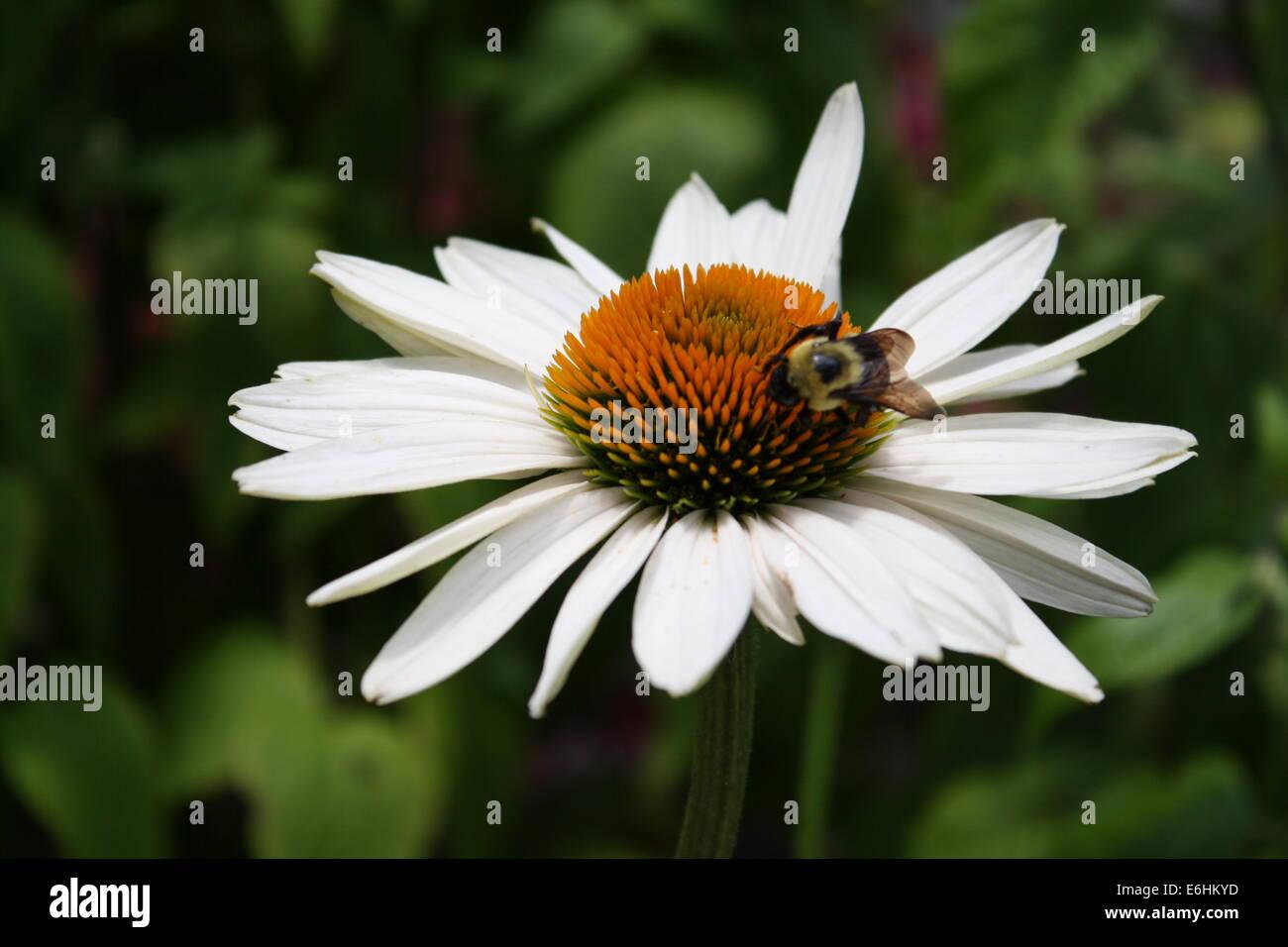 Fall Perennials, White Daisy and Bee - Stock Image