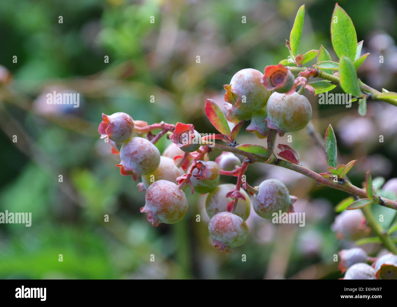 Lowbush blueberry - Stock Image