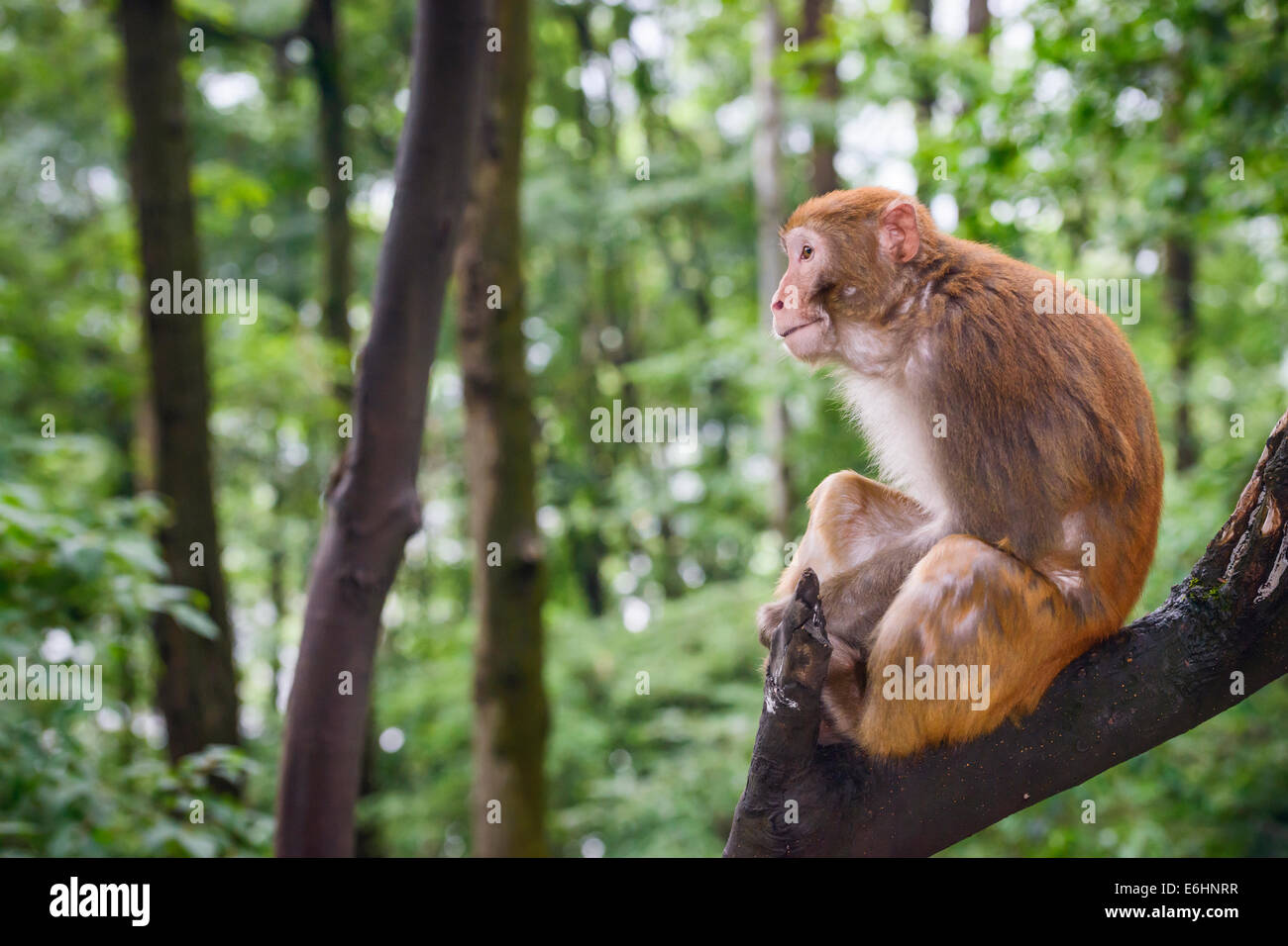 Macaque in Guiyang, China - Stock Image