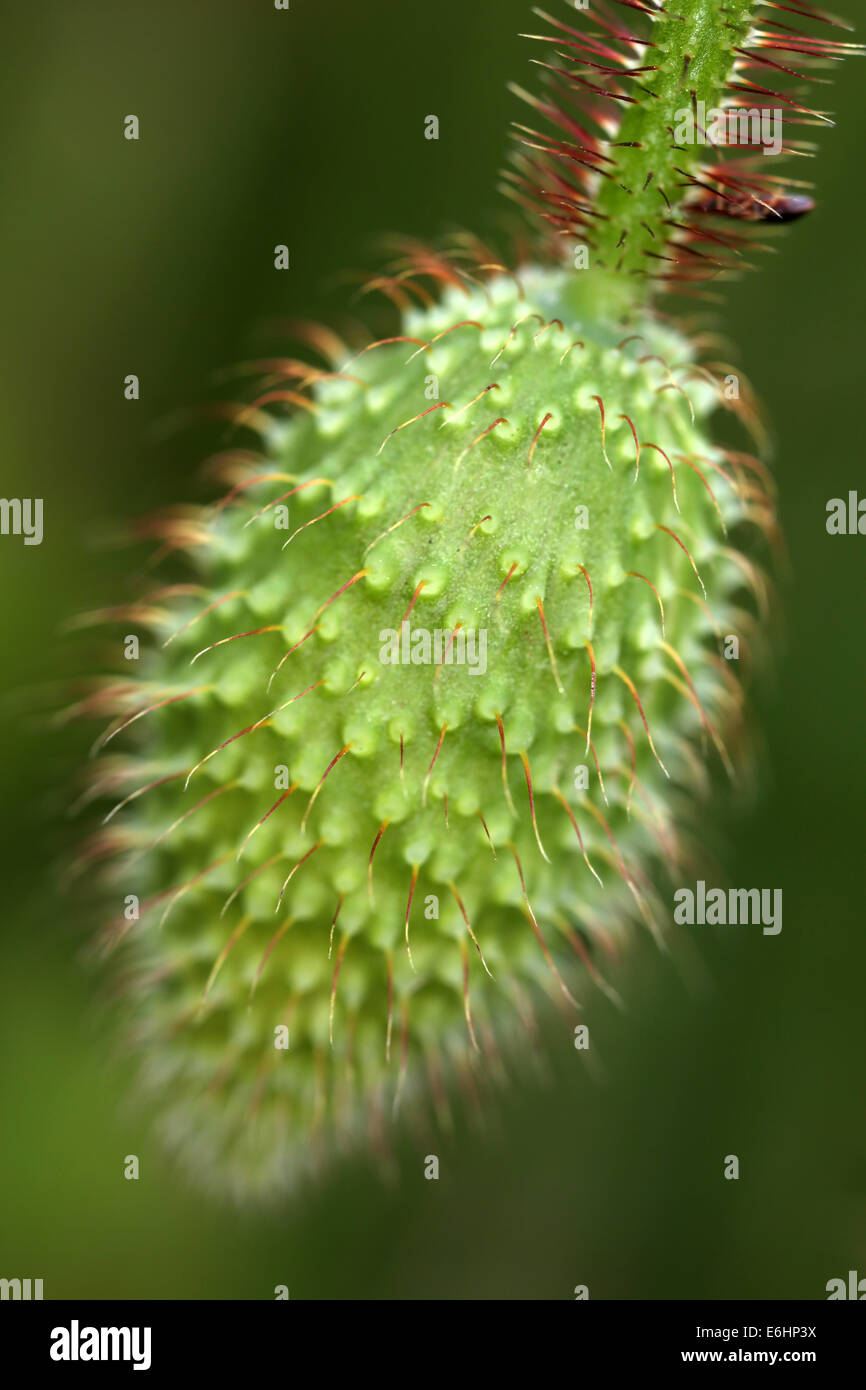 Papaver somniferum - flower bud - Stock Image