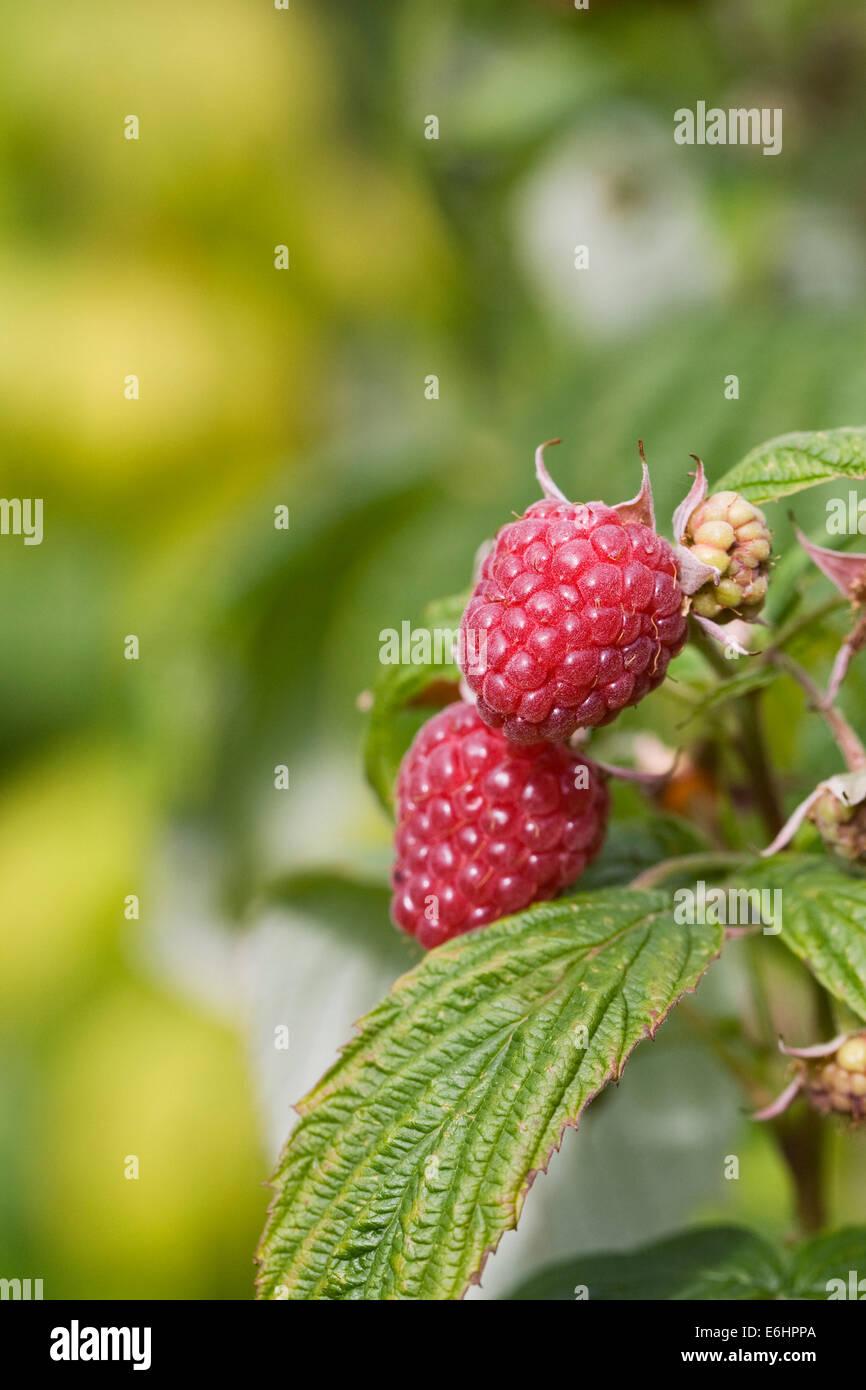 Rubus. Raspberry 'Autumn Bliss' growing in a fruit garden. - Stock Image