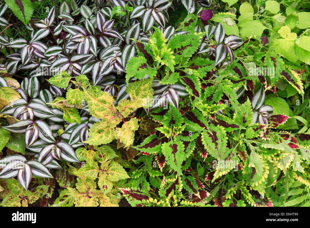 Leaves of coleus and Wandering Jew (Tradescantia zebrina) leaves. - Stock Image