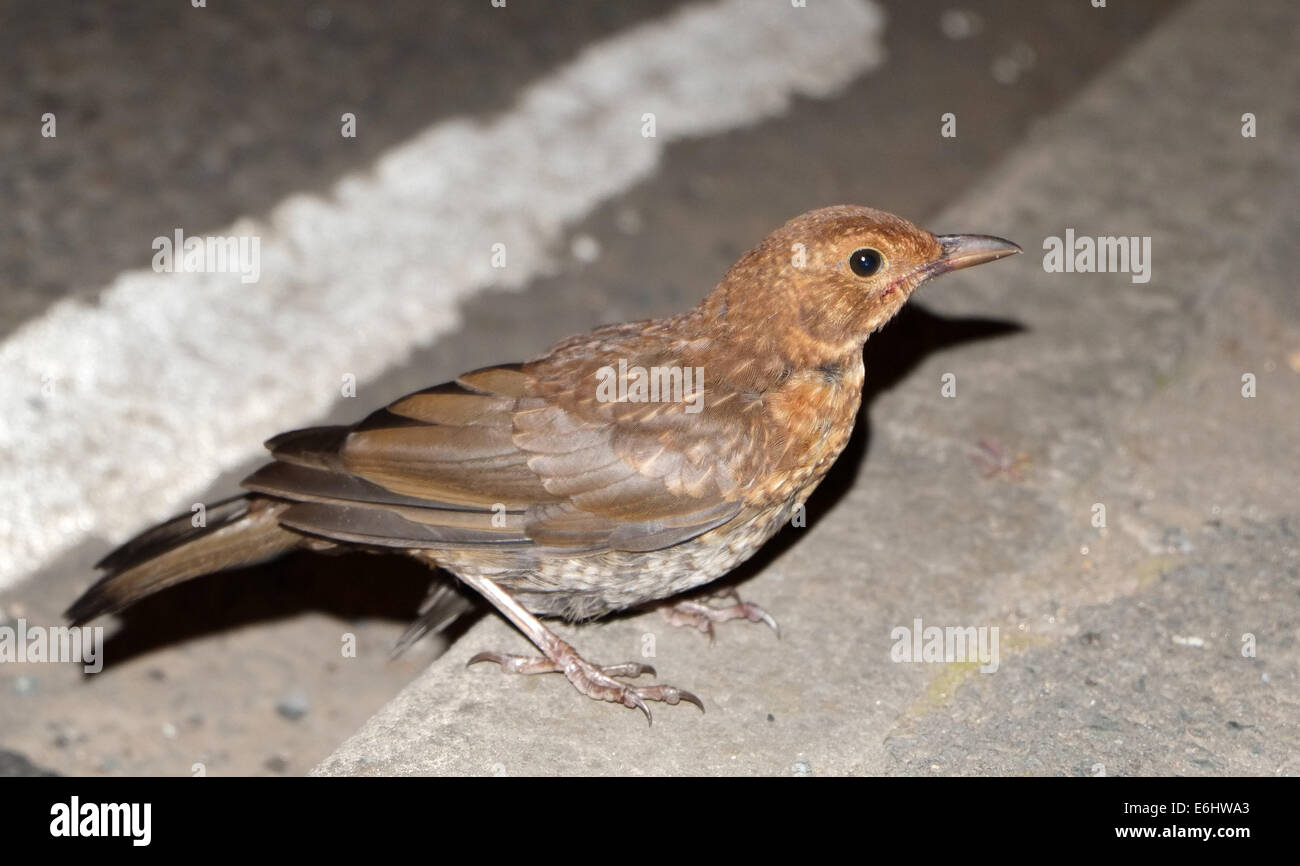 Stunned thrush on the road kerb, probably after a car strike. 23rd August 2014 - Stock Image