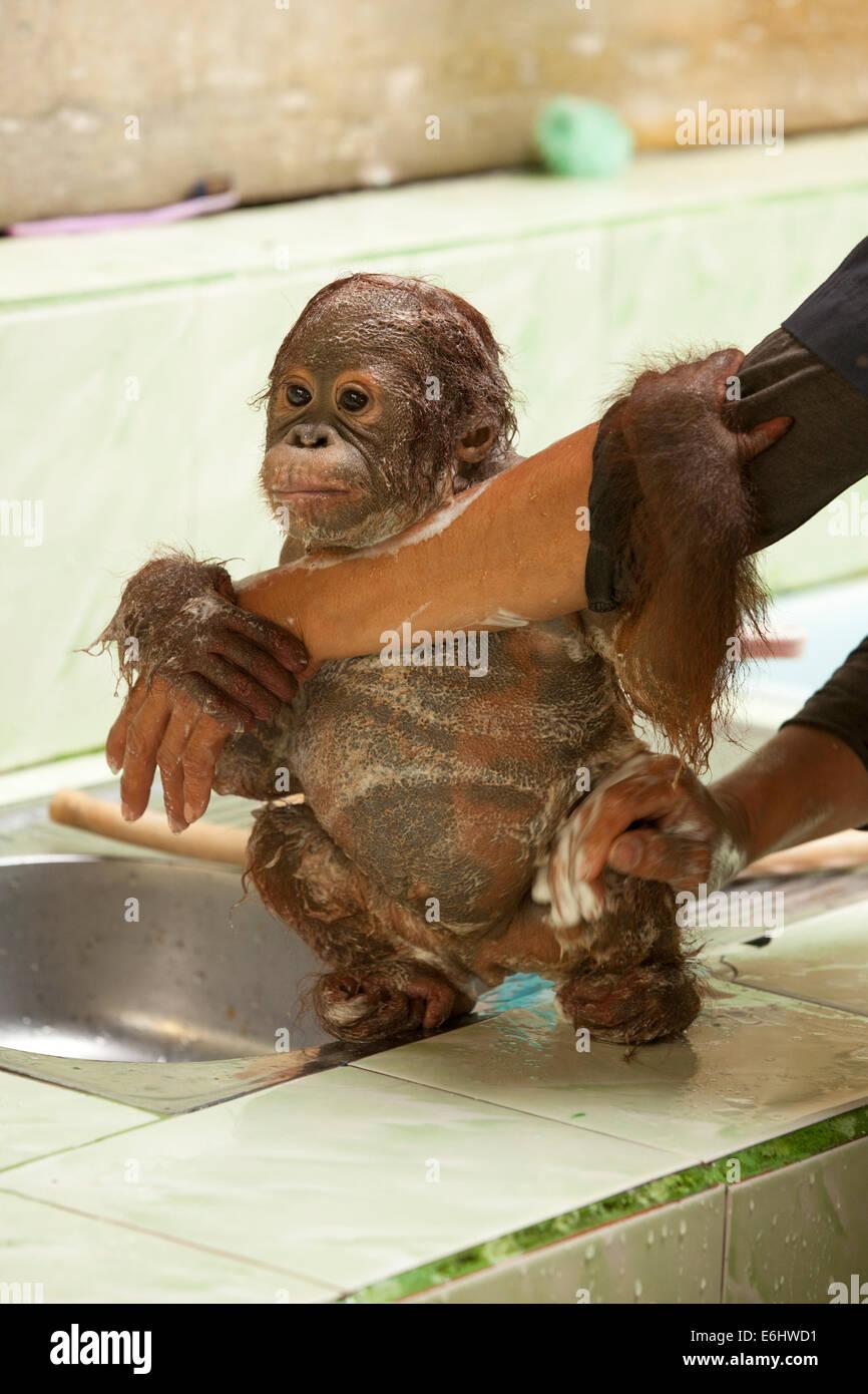 Orphaned infant orangutan (Pongo pygmaeus) clinging to caretaker's arm while having a bath at the Orangutan Care Stock Photo