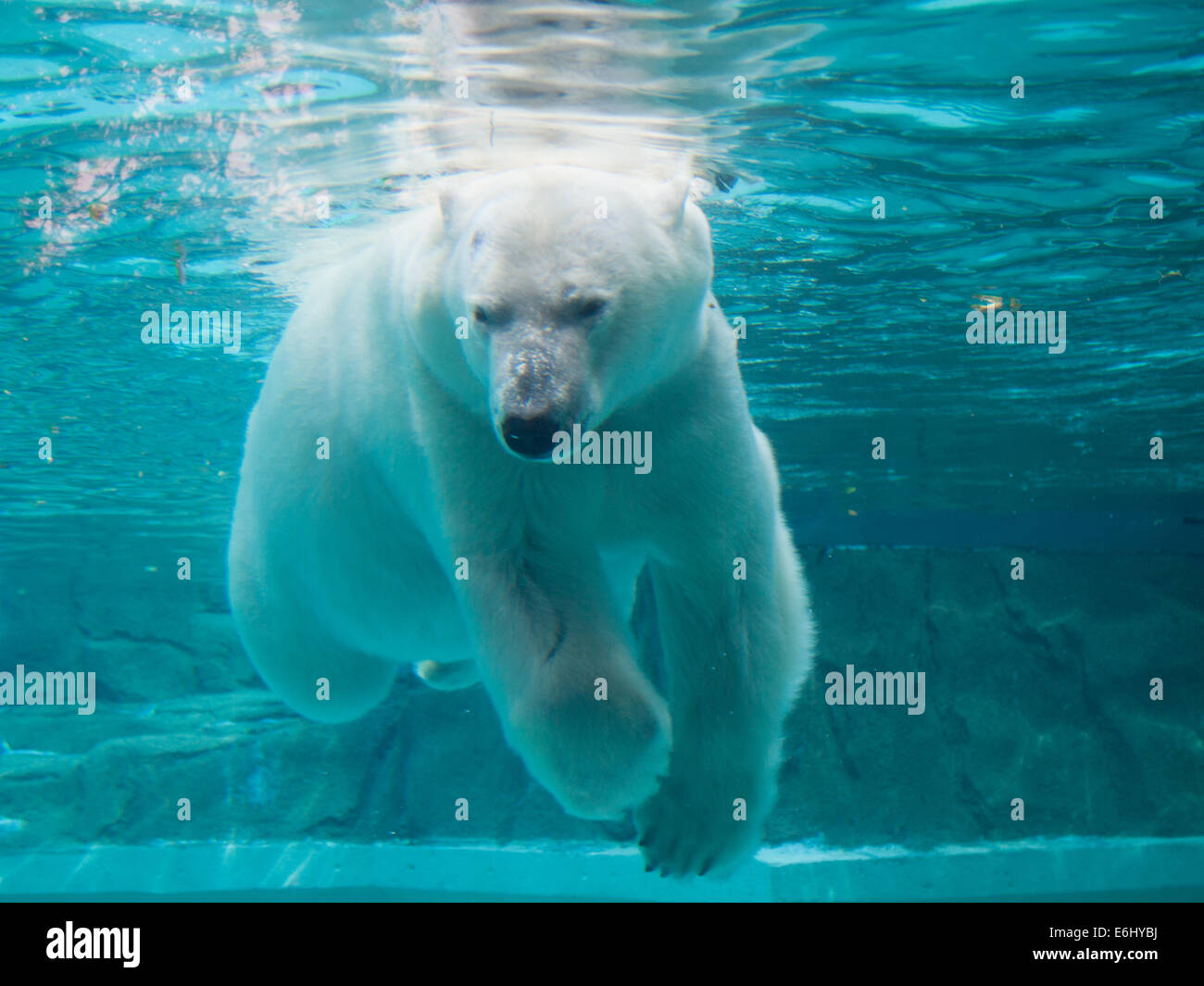 Anana, the resident female polar bear of the Lincoln Park Zoo in Chicago, swims underwater. - Stock Image