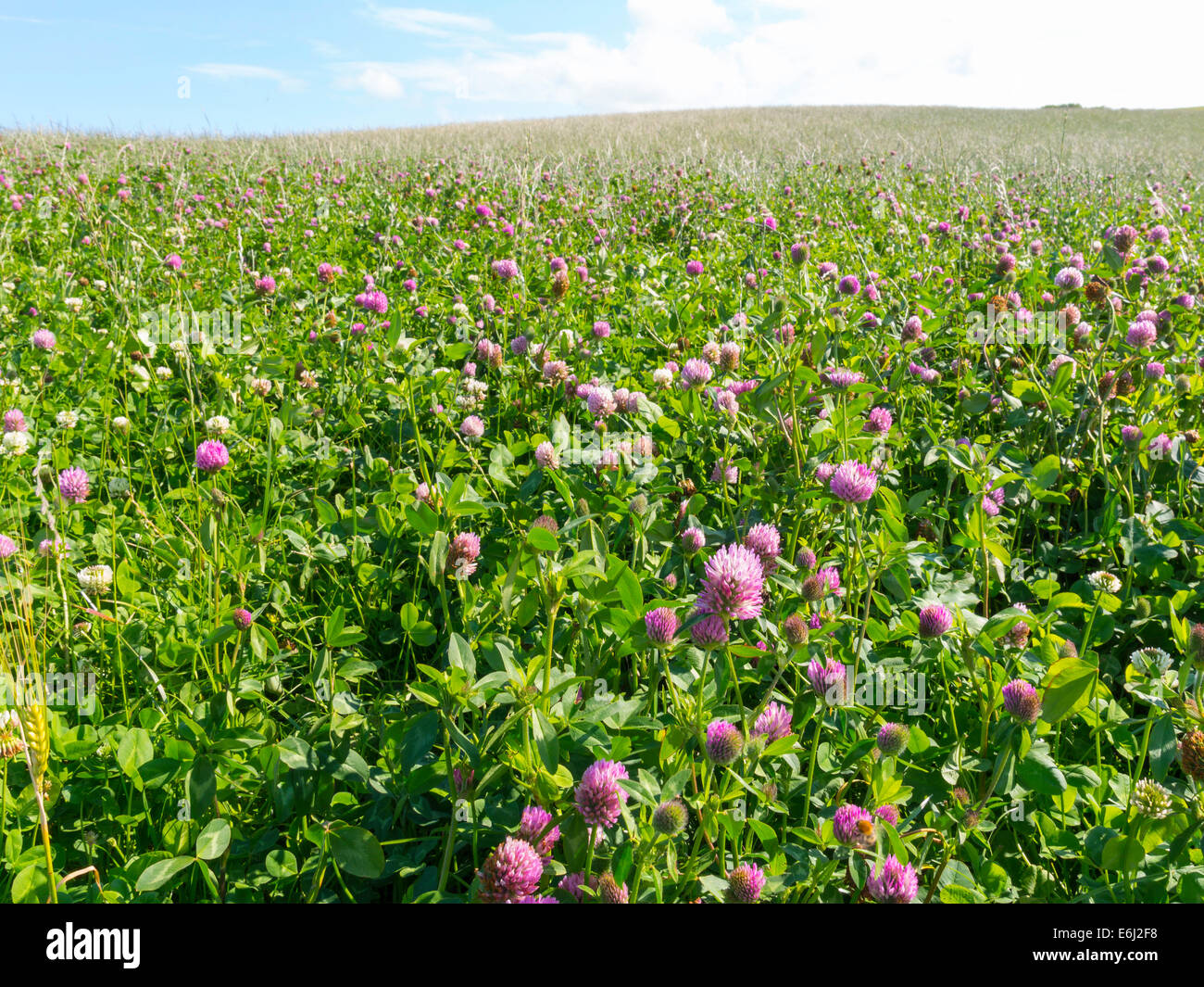 Field of Red Clover sustainable crop for animal feed or silage North Yorkshire - Stock Image