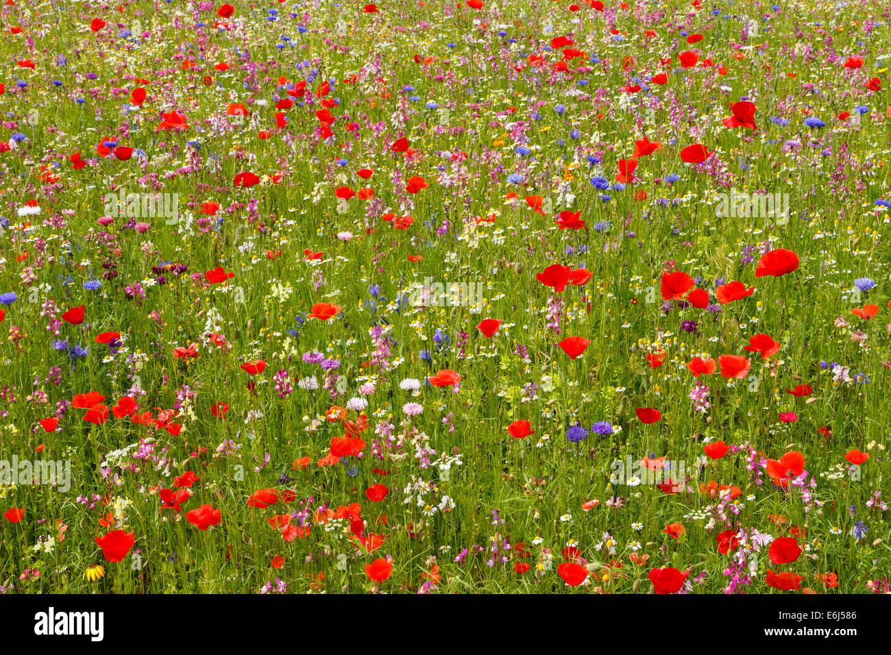 Wildflower meadow in full bloom with many poppies. - Stock Image