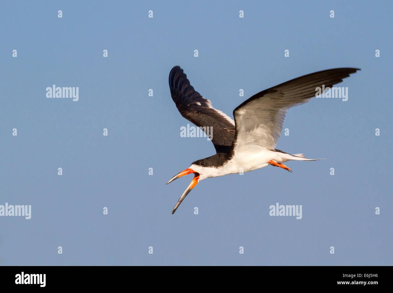 Black skimmer (Rynchops niger) flying. - Stock Image