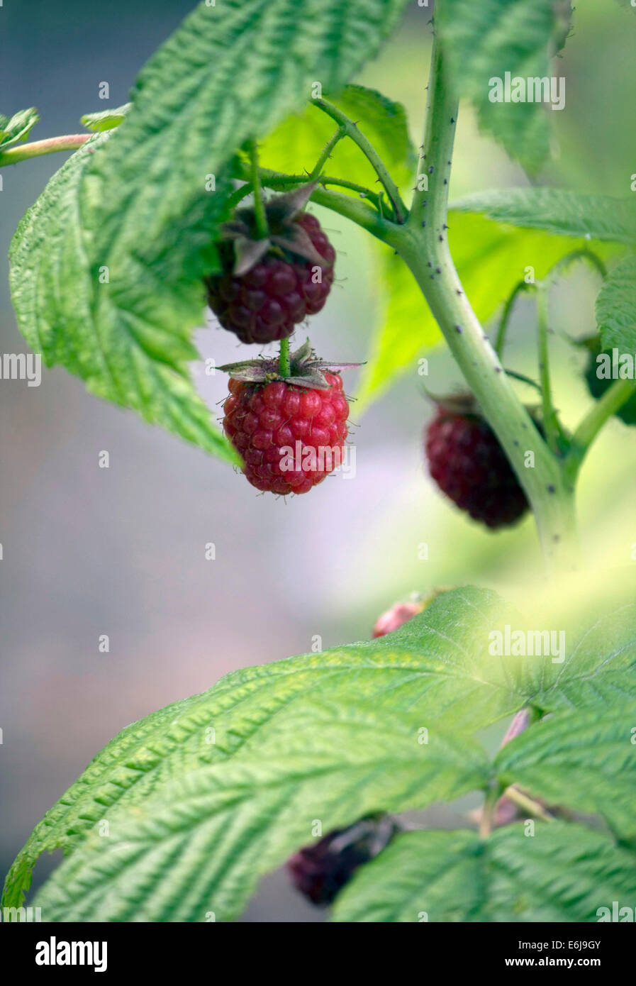 Lovely British raspberries growing wild in an overgrown garden, plump and red, ripe for picking - Stock Image