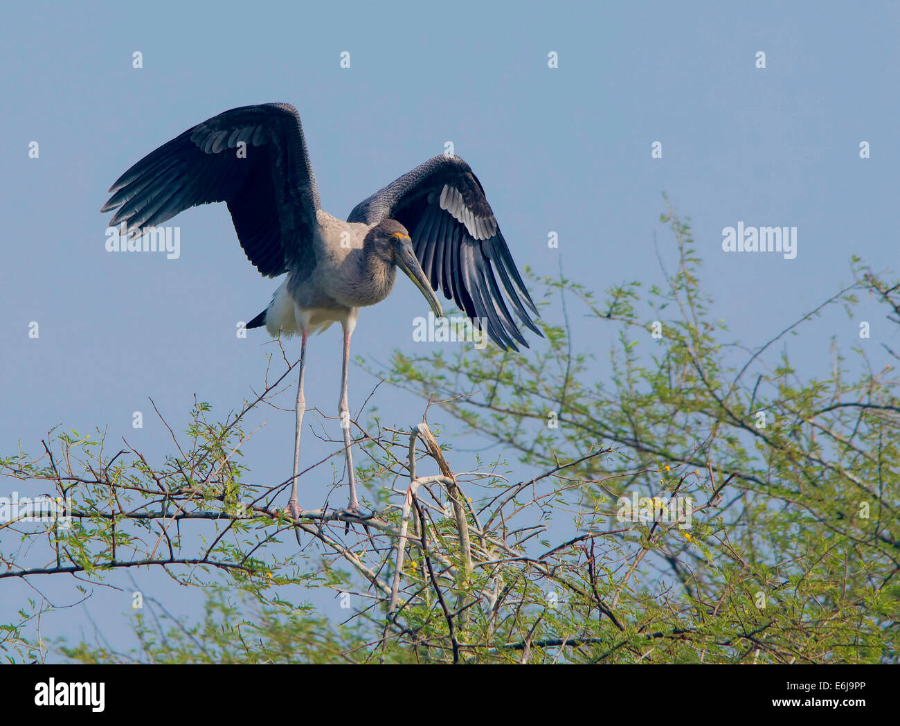 A juvenile painted stork with expanded wings on tree top - Stock Image