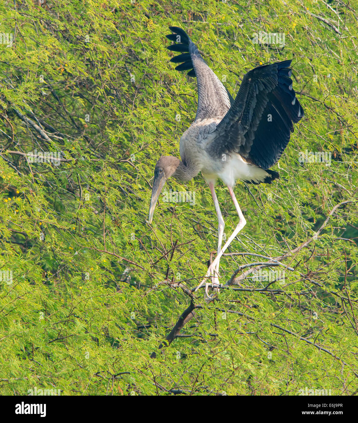 A juvenile painted stork with expanded wings - Stock Image