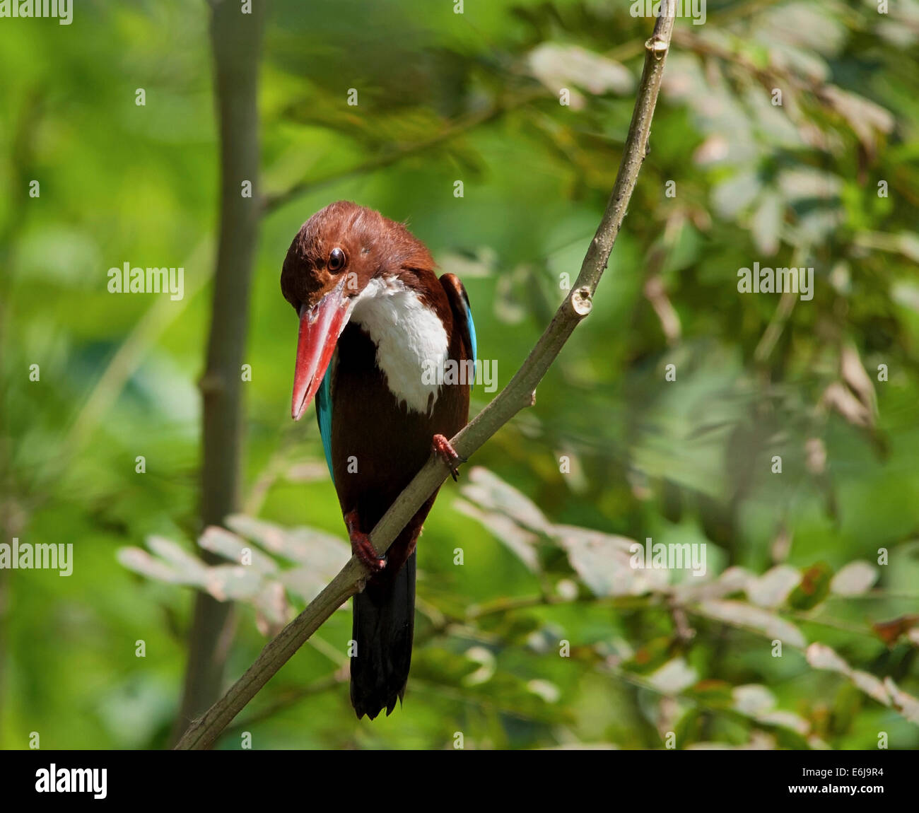 White Breasted Kingfisher in Jungle - Stock Image