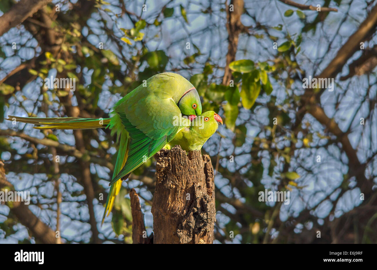 A pair of Rose Ringed Parakeet - Stock Image