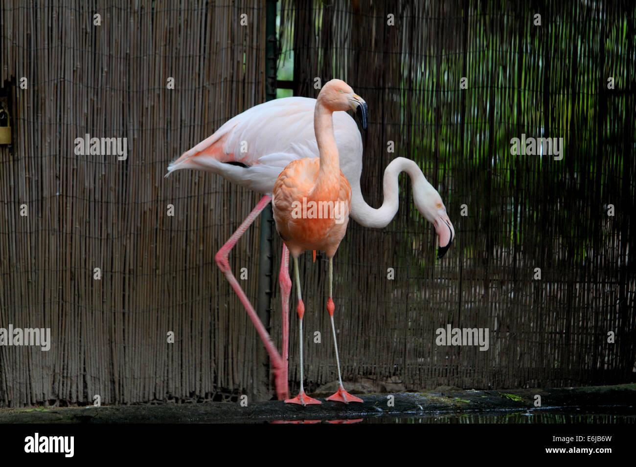 Two flamingos in Adelaide Zoo in Australia - Stock Image