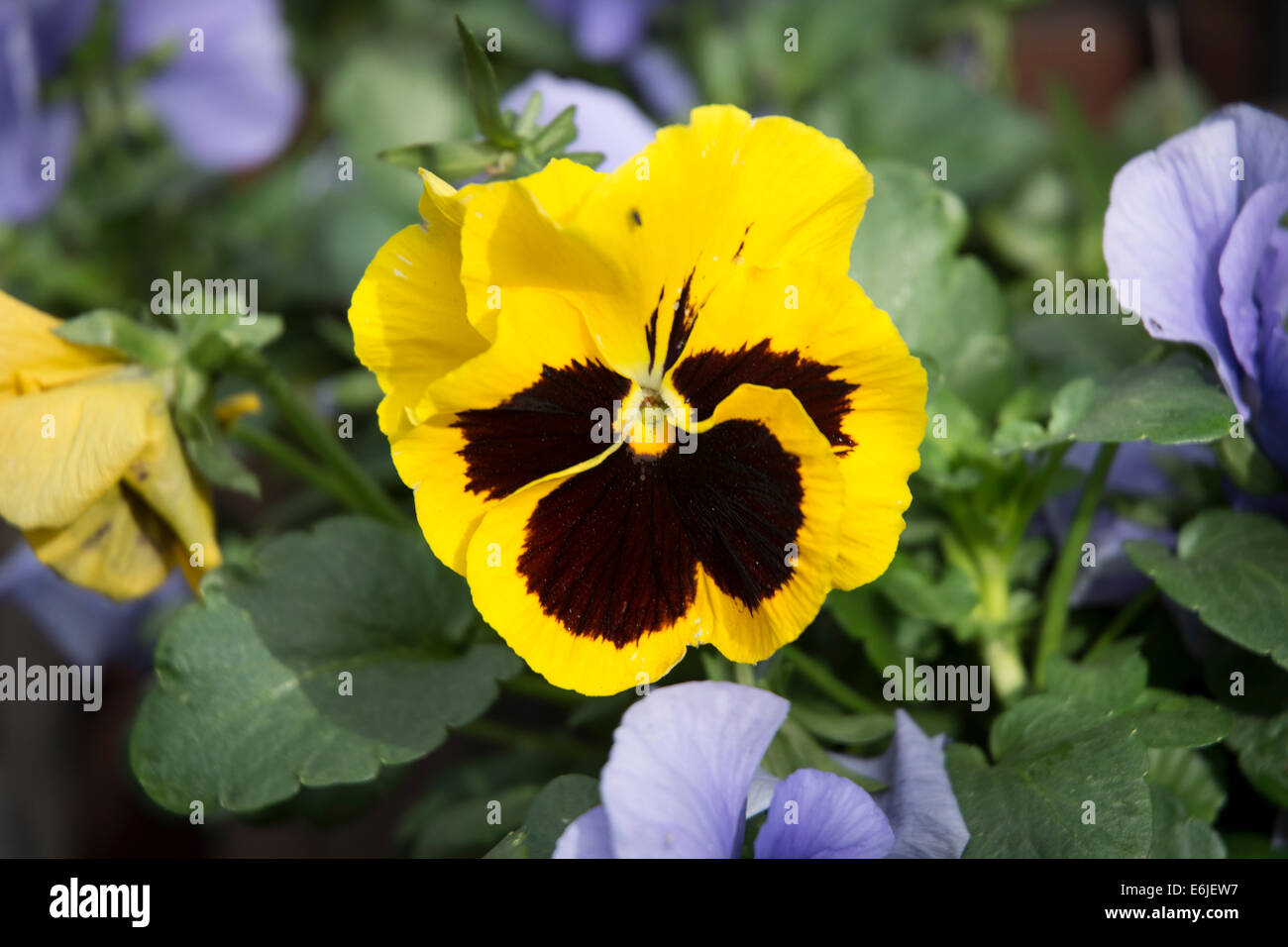 Yellow Pansy Flower Stock Photos Yellow Pansy Flower Stock Images