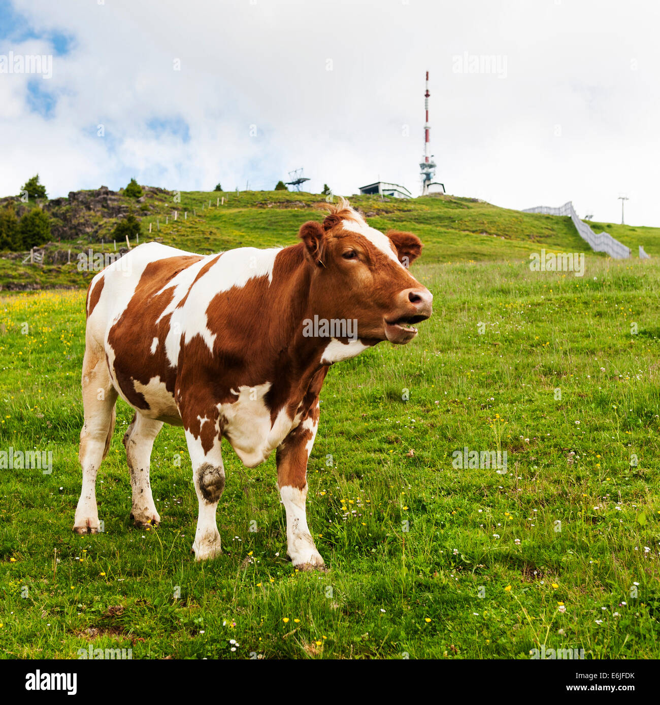 Brown Pinzgau Cow on Kitzbuheler Horn, Kitzbuhel Stock Photo