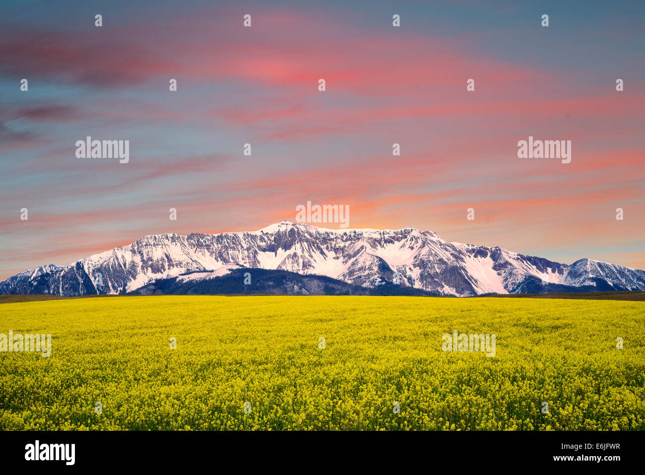 Field of mustard with snow covered Wallowa Mountains. Oregon - Stock Image